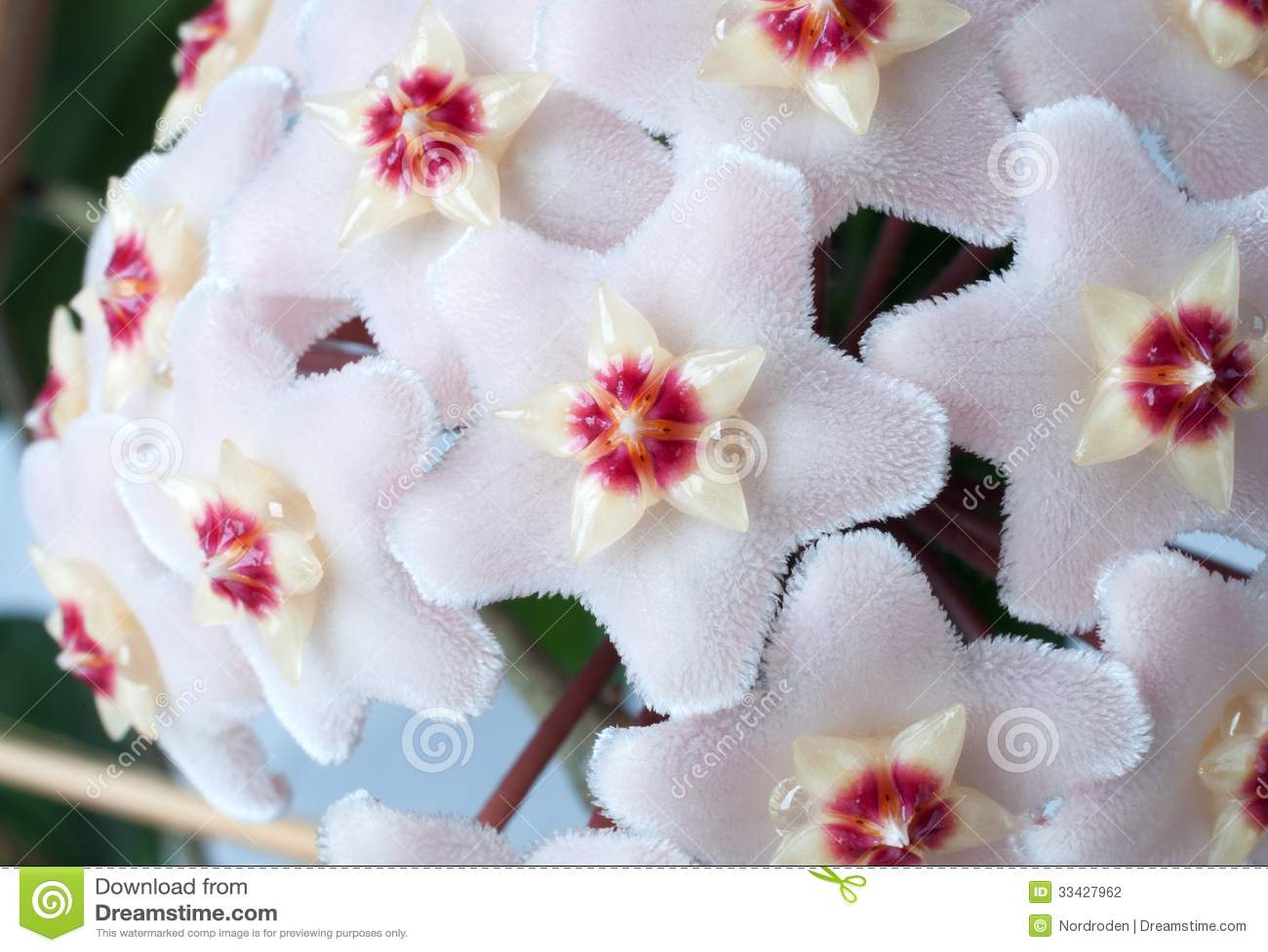 Цветок с цветками как восковые