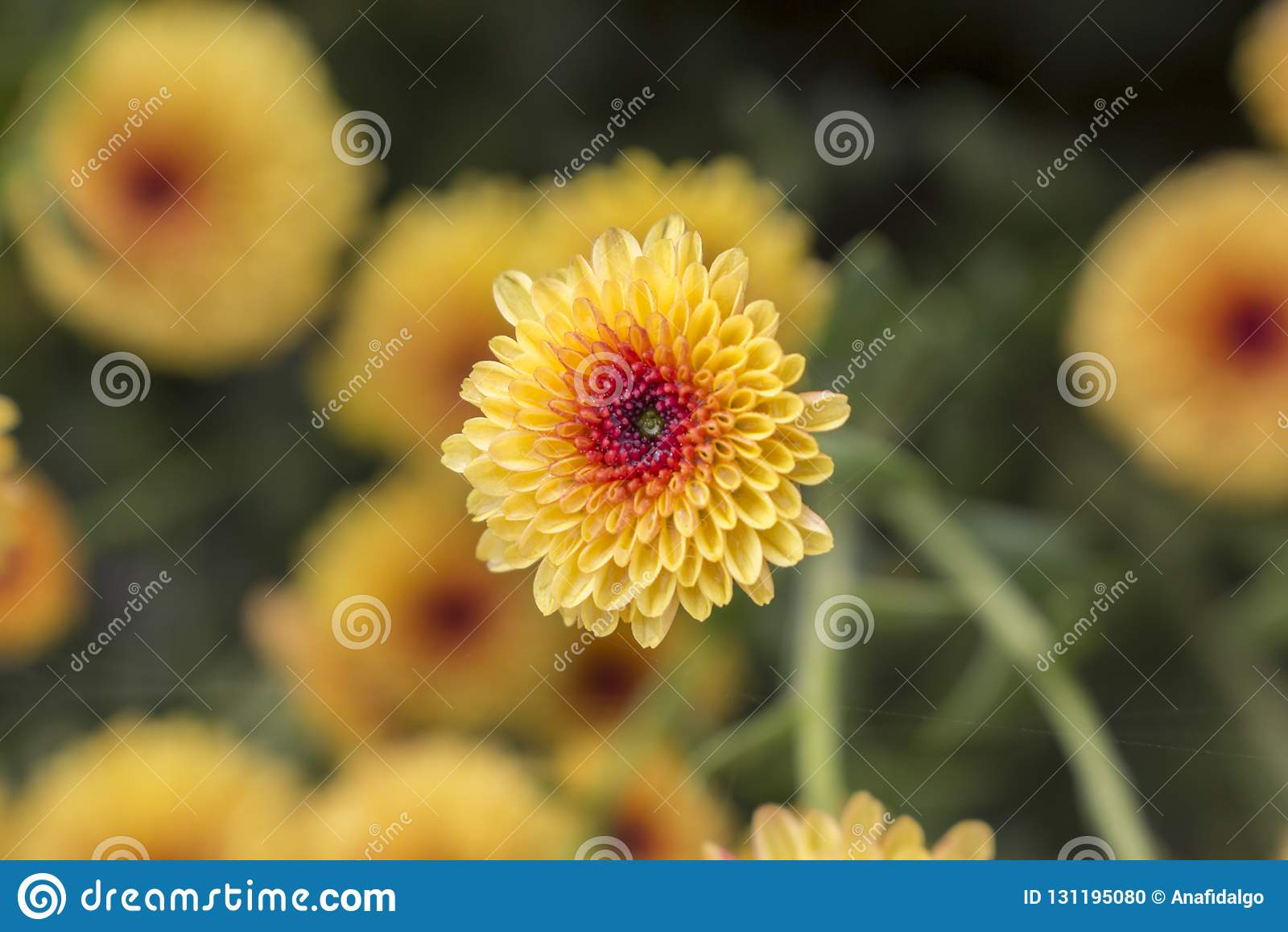 Макрос цветка хризантемы одиночного леденца на палочке желтого полностью зацветает с падениями воды от росы утра предпосылка расп