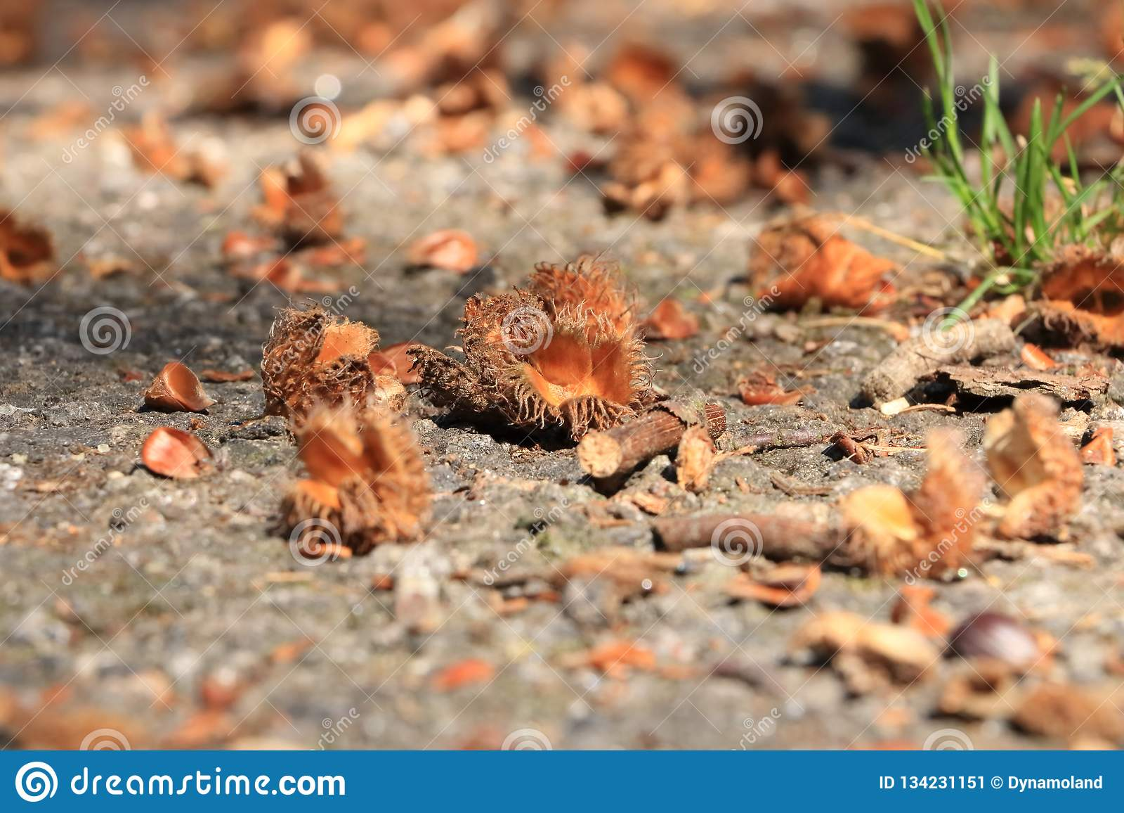 Макрос beechnut Брауна в осени на поле