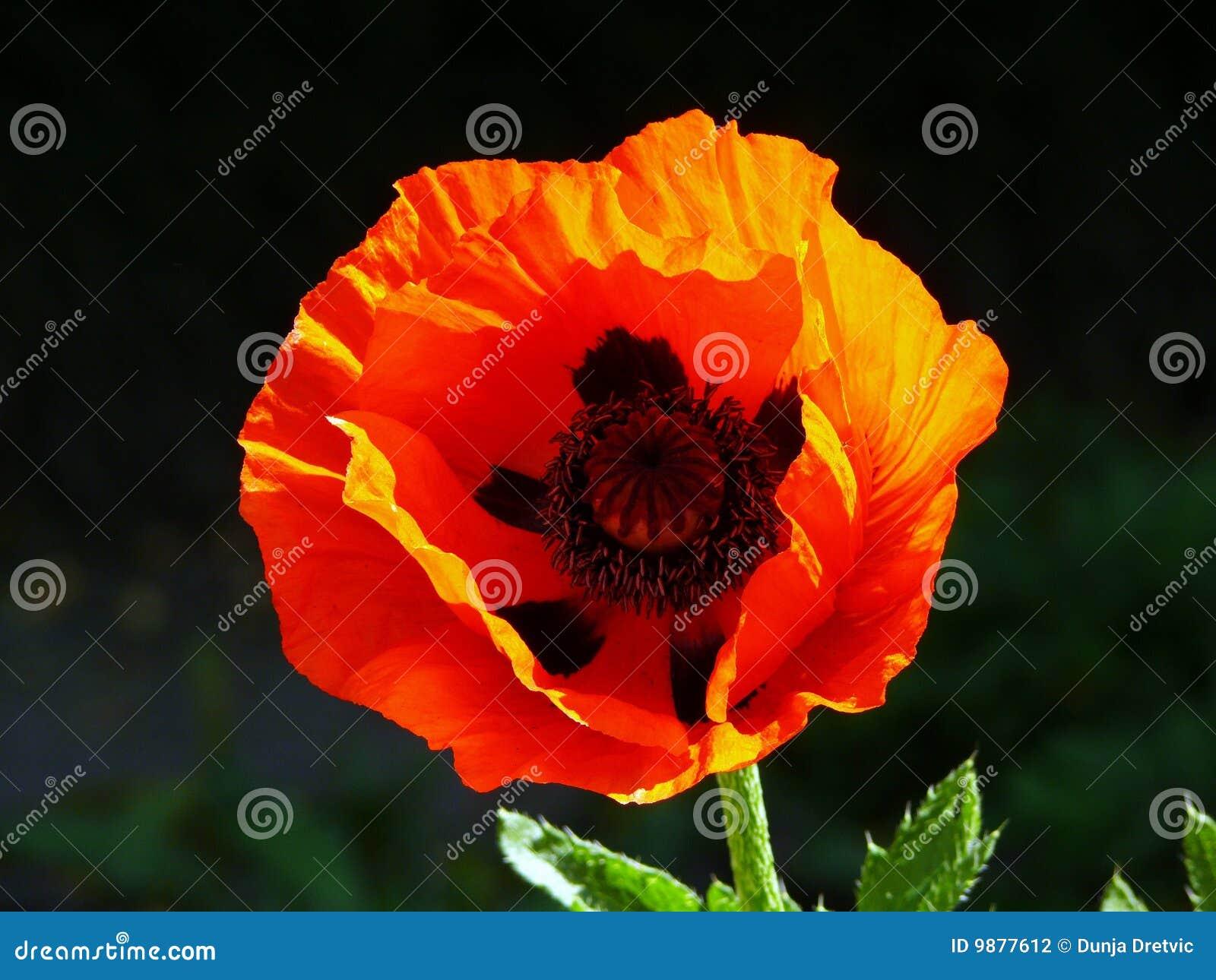 мак цветка