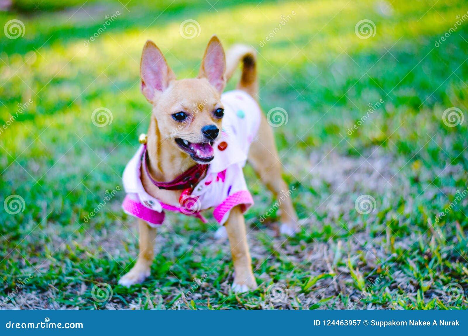 Малая собака чихуахуа бежит в лужайке