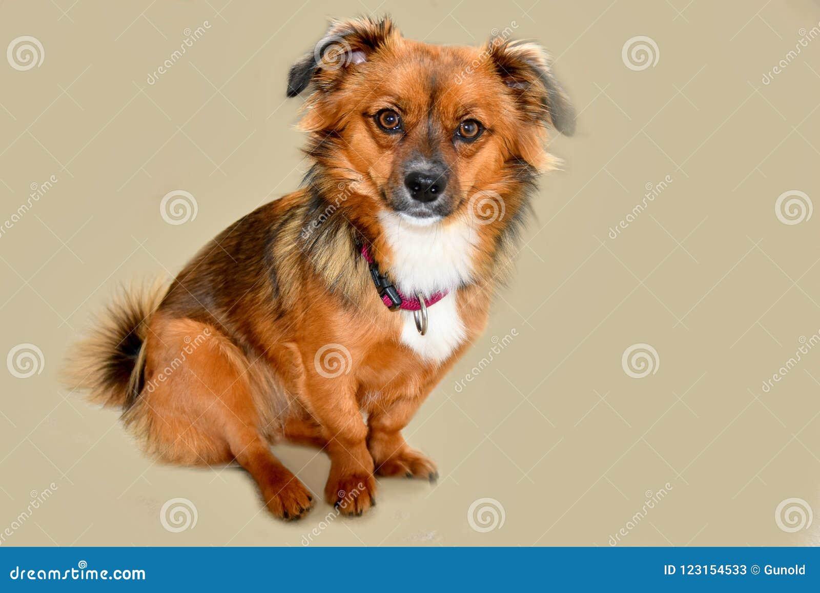 Маленькая собака щенка с большими удивленными глазами