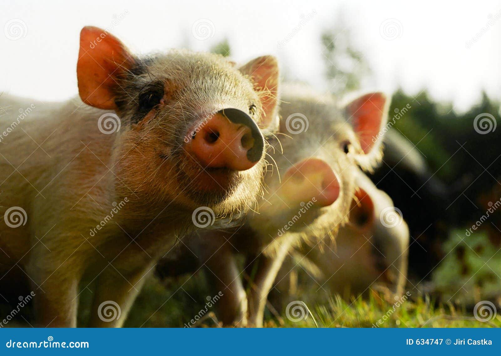 Download маленькие свиньи стоковое изображение. изображение насчитывающей swine - 634747