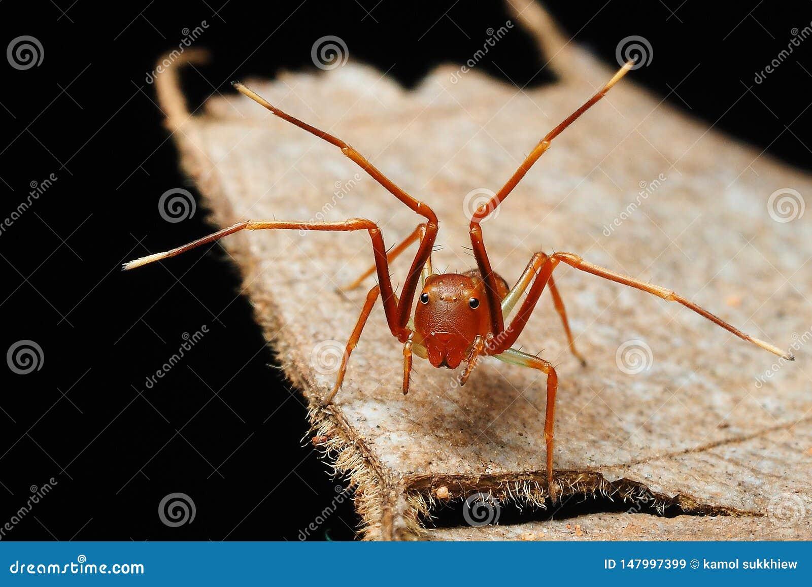 Маленький паук имитатора муравья показывает его ноги