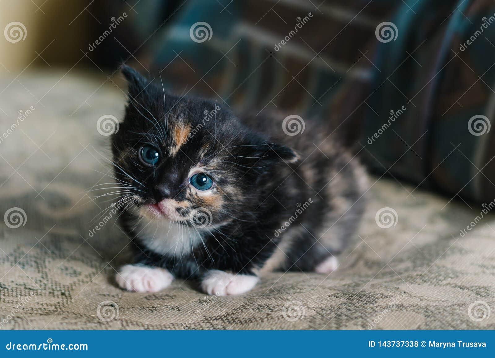 Маленький черный кот с белыми и красными пятнами и голубыми глазами лежит на софе с устрашенным взглядом