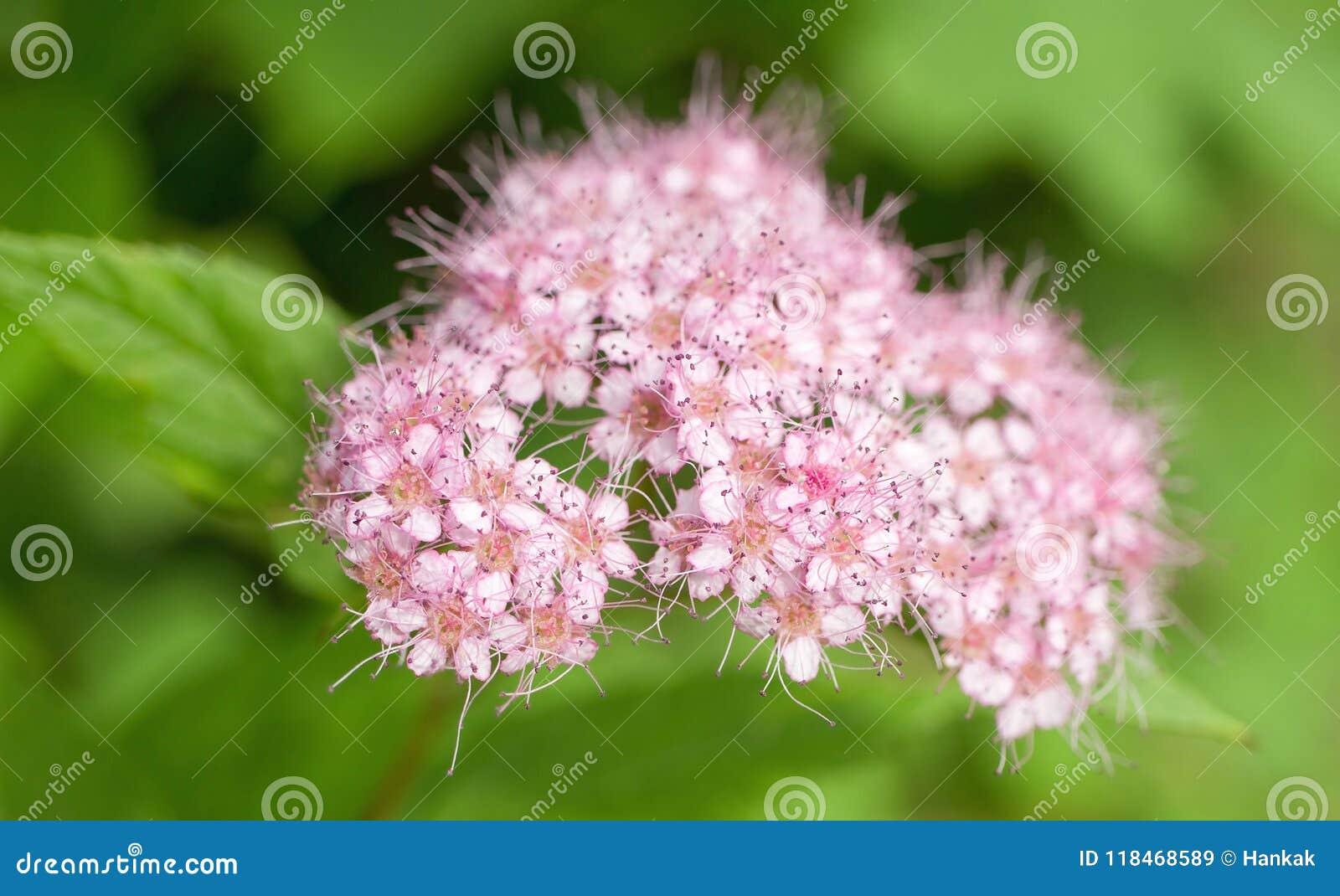 Малые розовые цветения с пушком