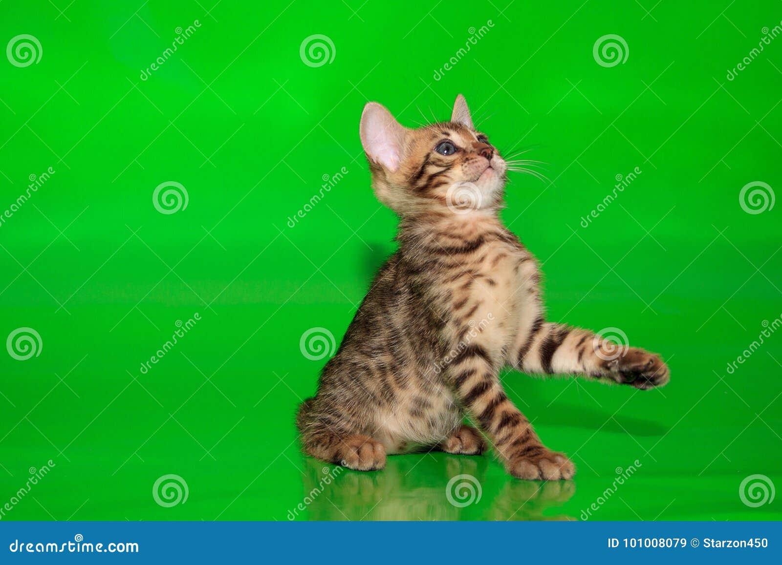 Малый котенок Бенгалии с красивыми голубыми глазами Двухмесячная старая