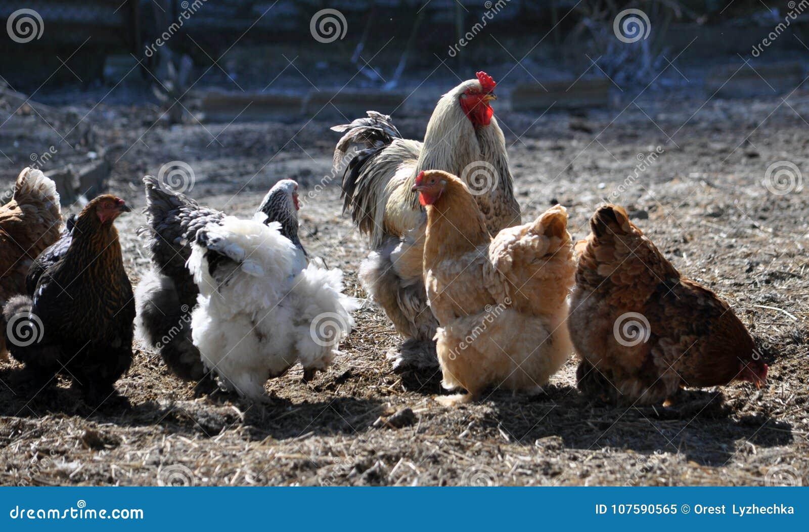 Малый табун цыплят и крана