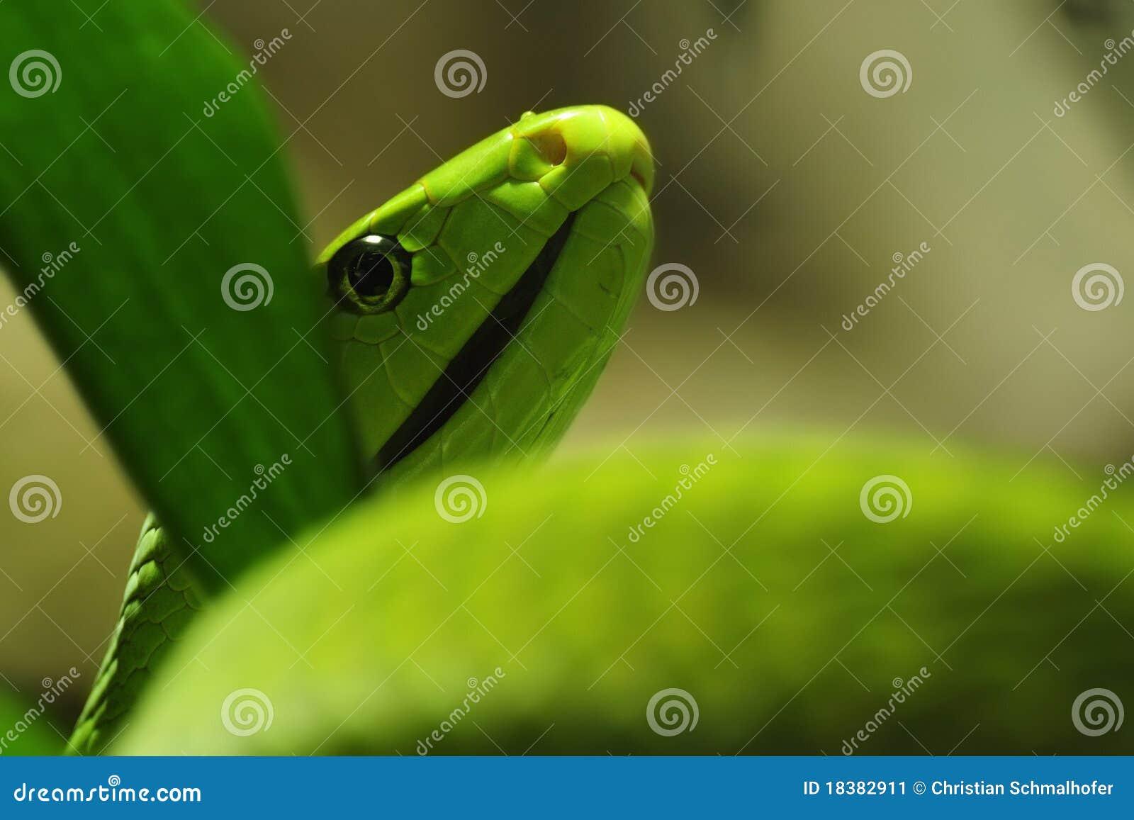 мамба dendroaspis angusticeps зеленая