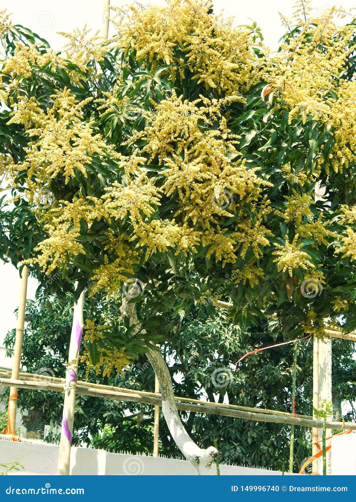 Манго в деревом манго окружило цветение цветка withMango, ka Manzar Aam