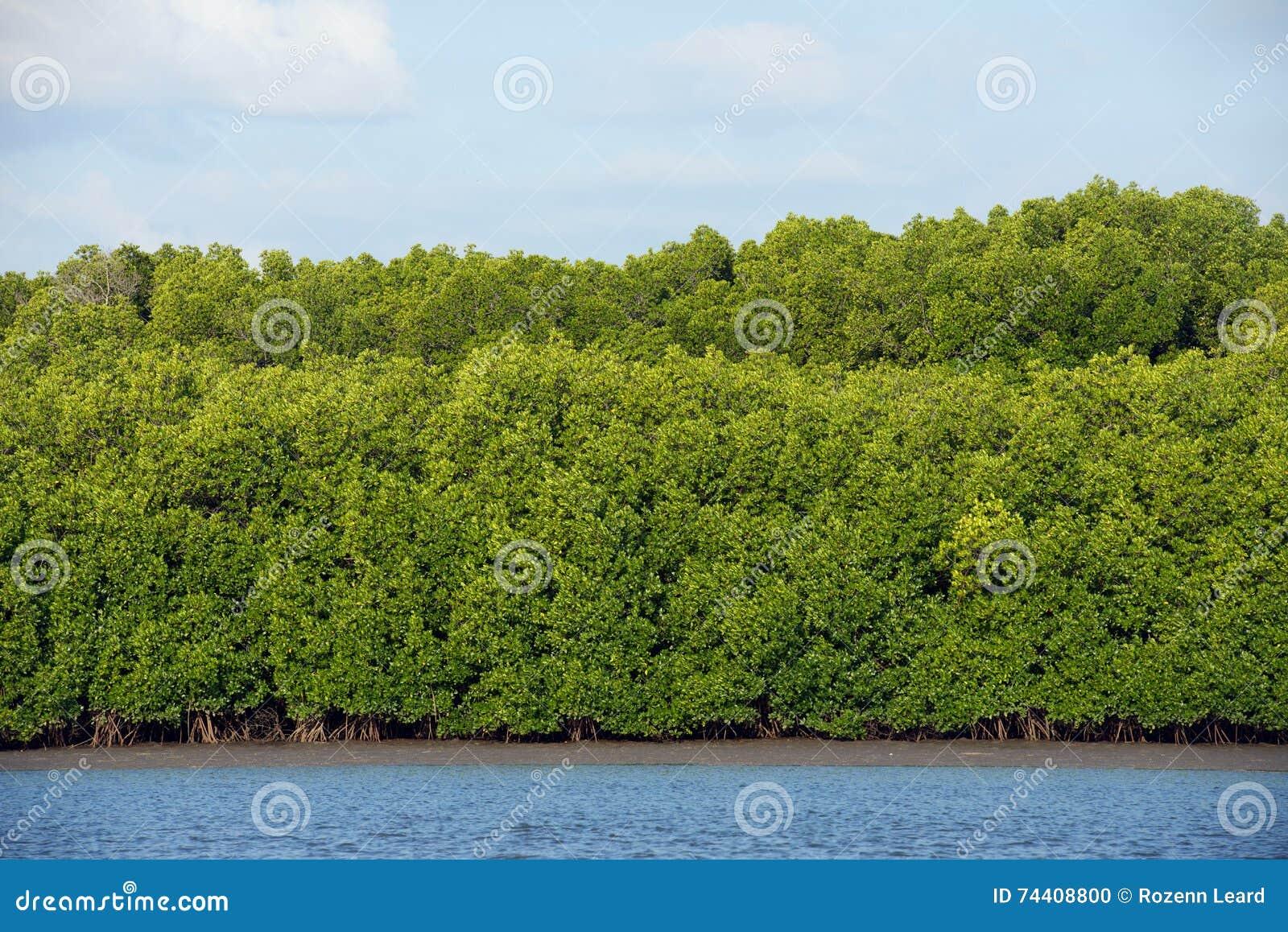 мангровы