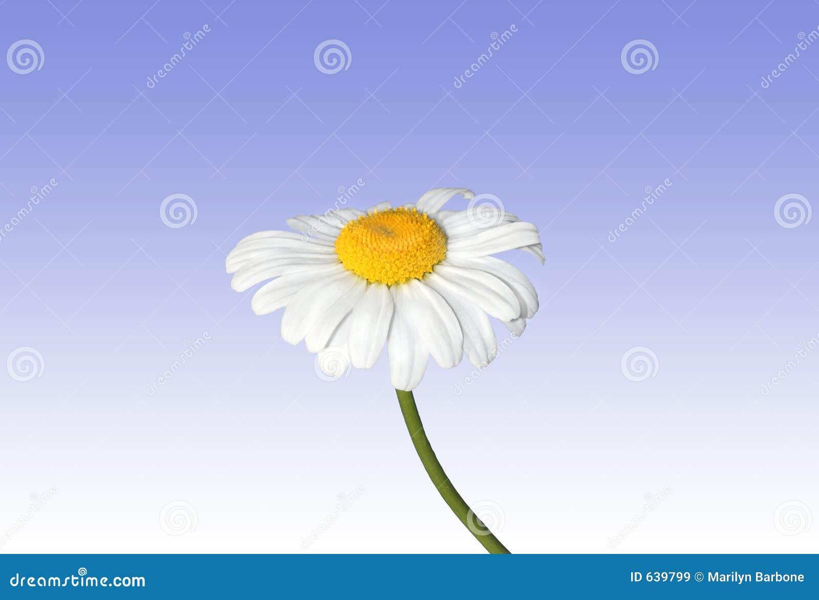Download маргаритка красотки стоковое изображение. изображение насчитывающей естественно - 639799