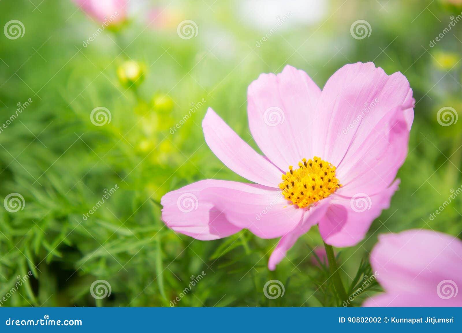 Маргаритка цветет, цветение цветков космоса в свете утра