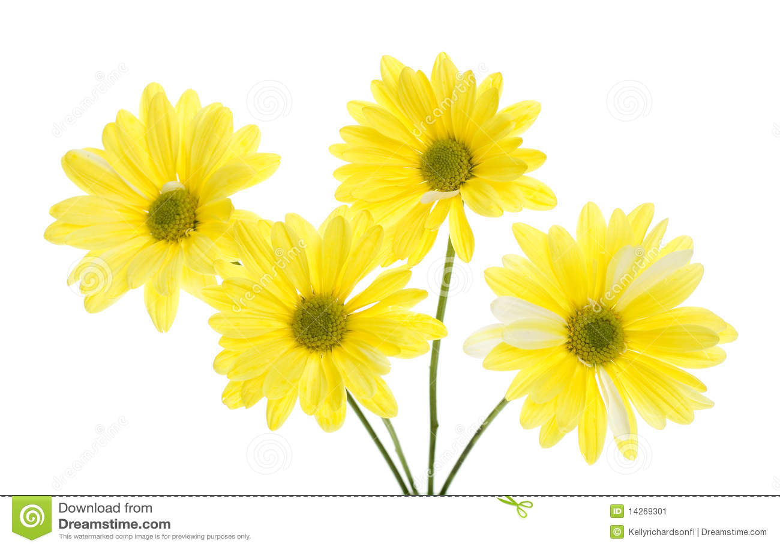 маргаритка цветет 4 изолированный желтый цвет shasta белый