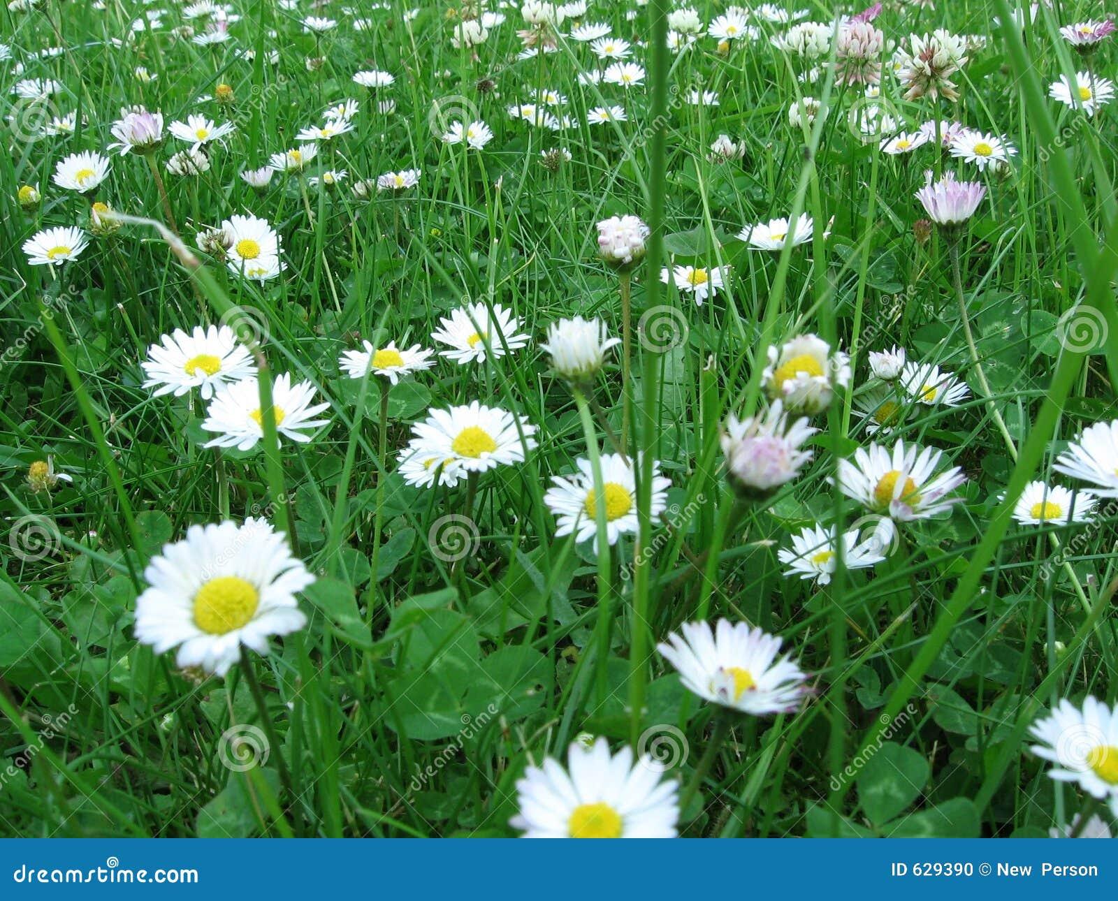 Download маргаритка стоковое фото. изображение насчитывающей лето - 629390