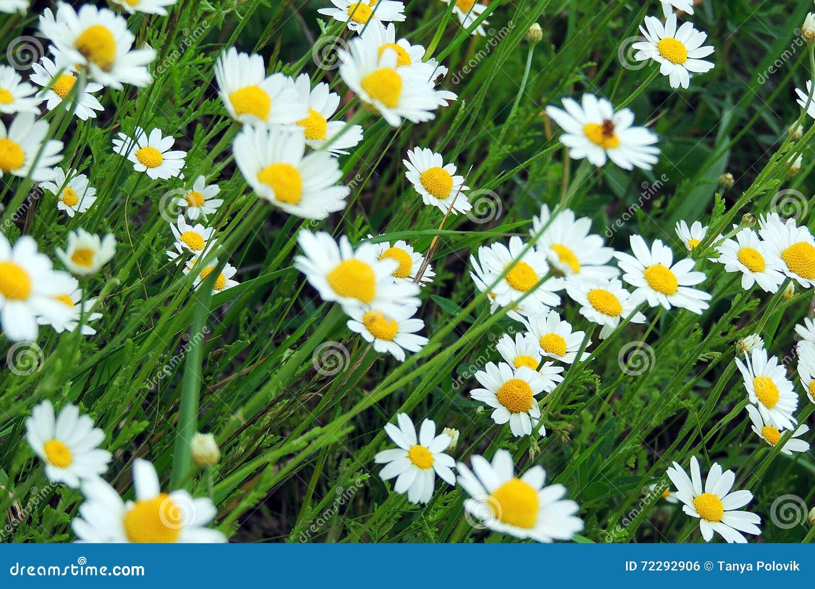 Download Маргаритки в поле стоковое фото. изображение насчитывающей лужок - 72292906