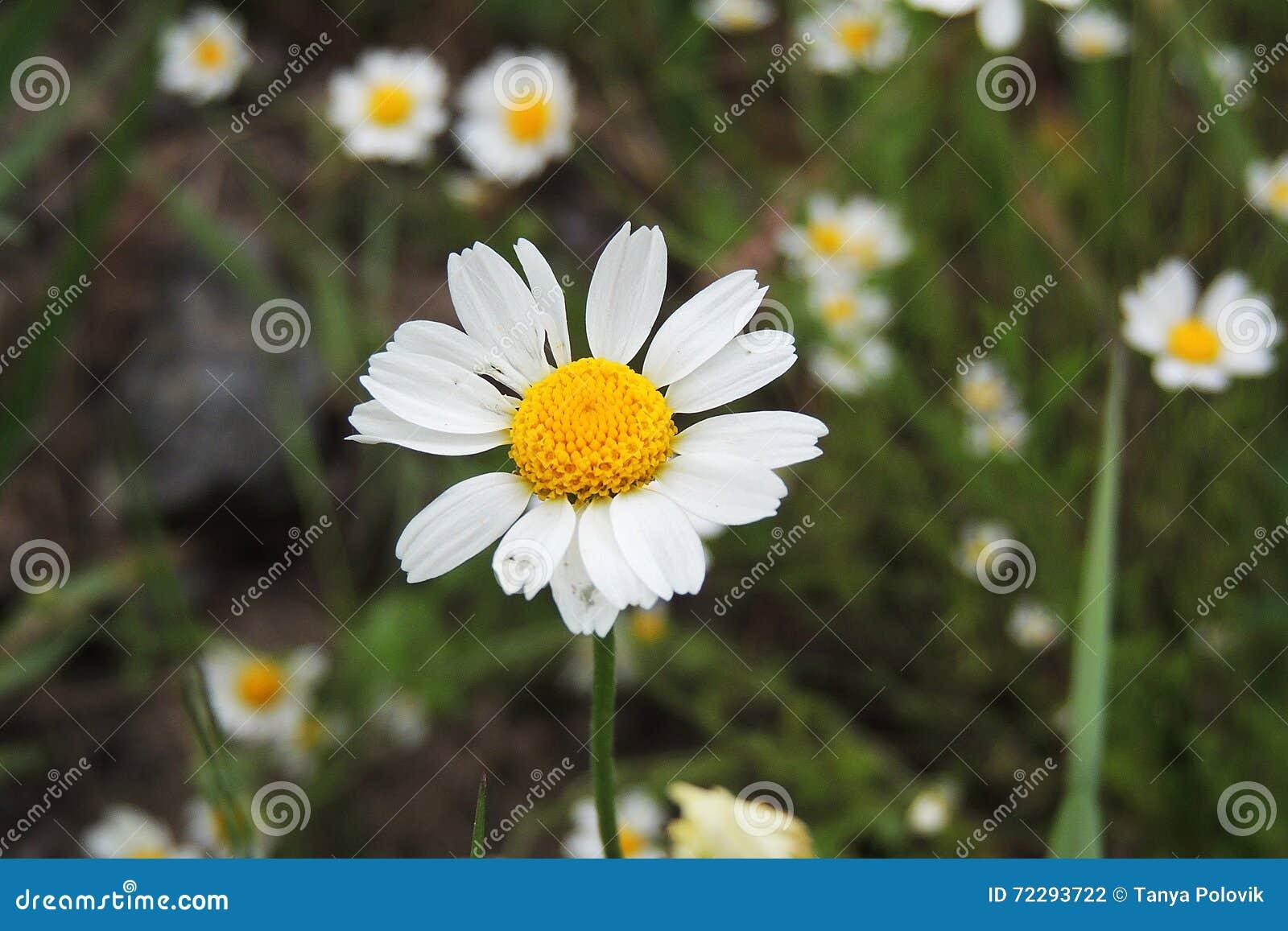Download Маргаритки в поле стоковое фото. изображение насчитывающей свеже - 72293722