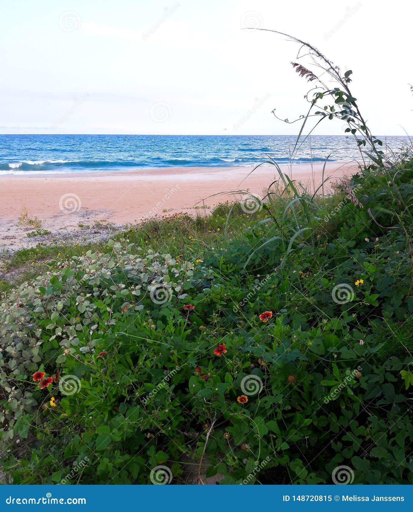 Маргаритки растя дикий на песчанных дюнах по побережью пляжи Флориды во входе Ponce и пляже Ormond, Флориде