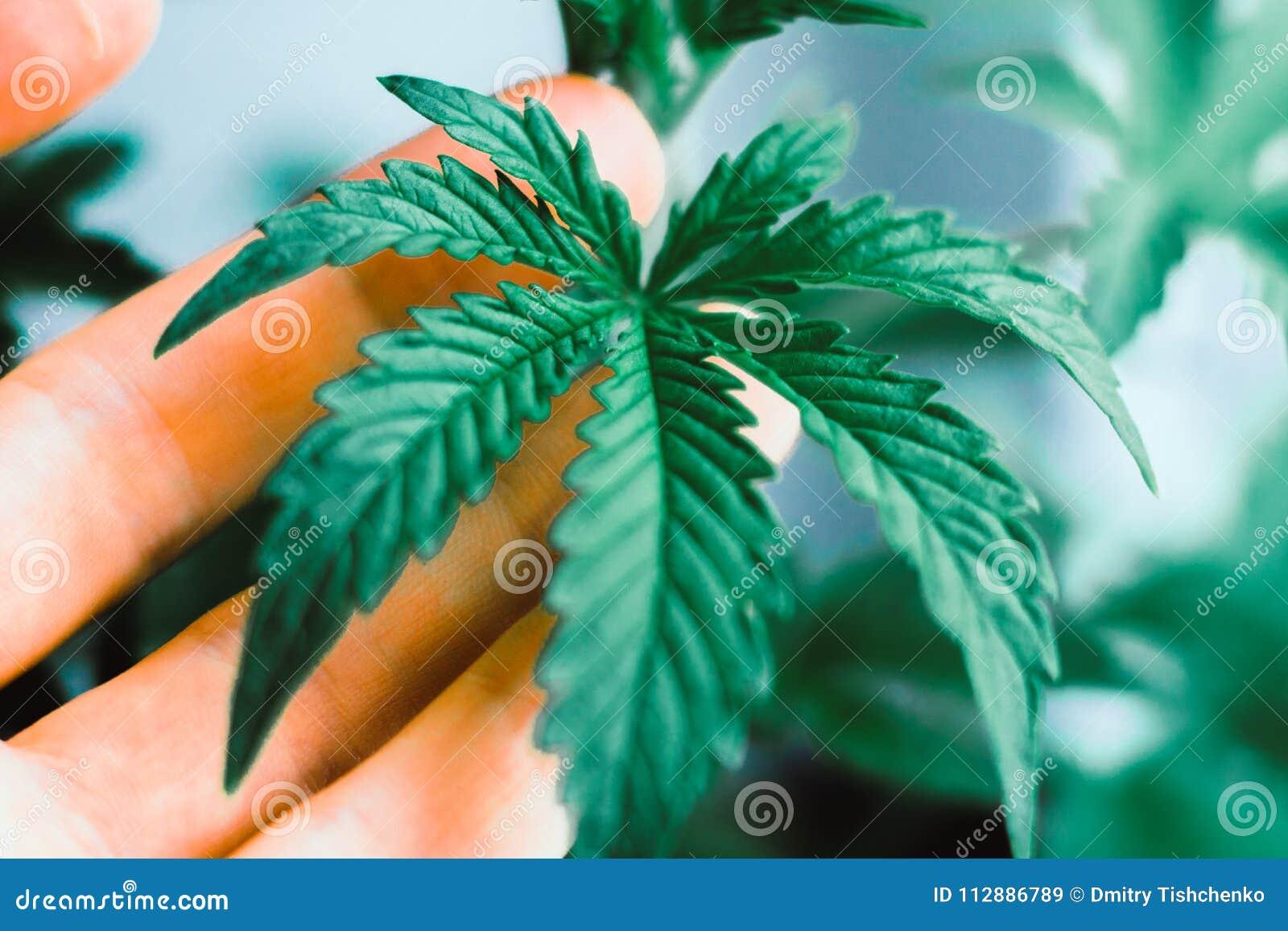 Конопля анимацию лечение шизофрении марихуаной