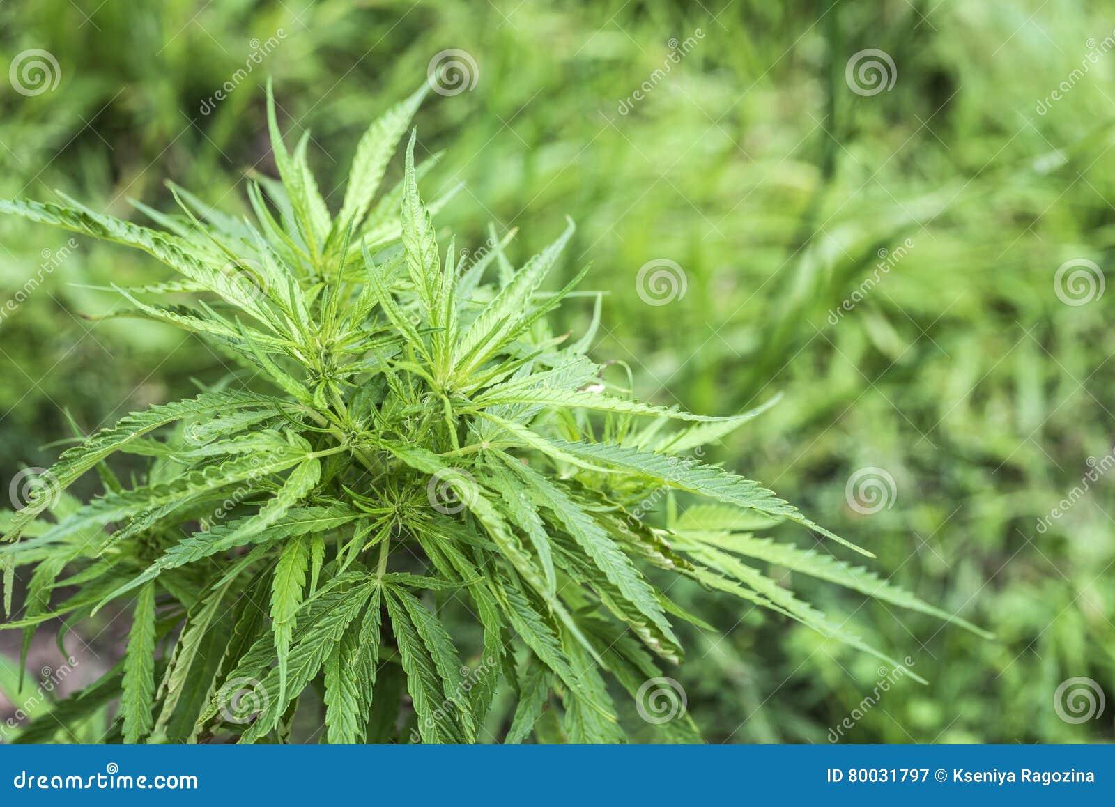 Марихуана медицинские цели марихуана на сленге