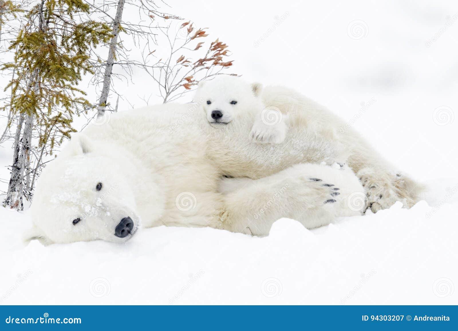 Мать полярного медведя с 2 новичками