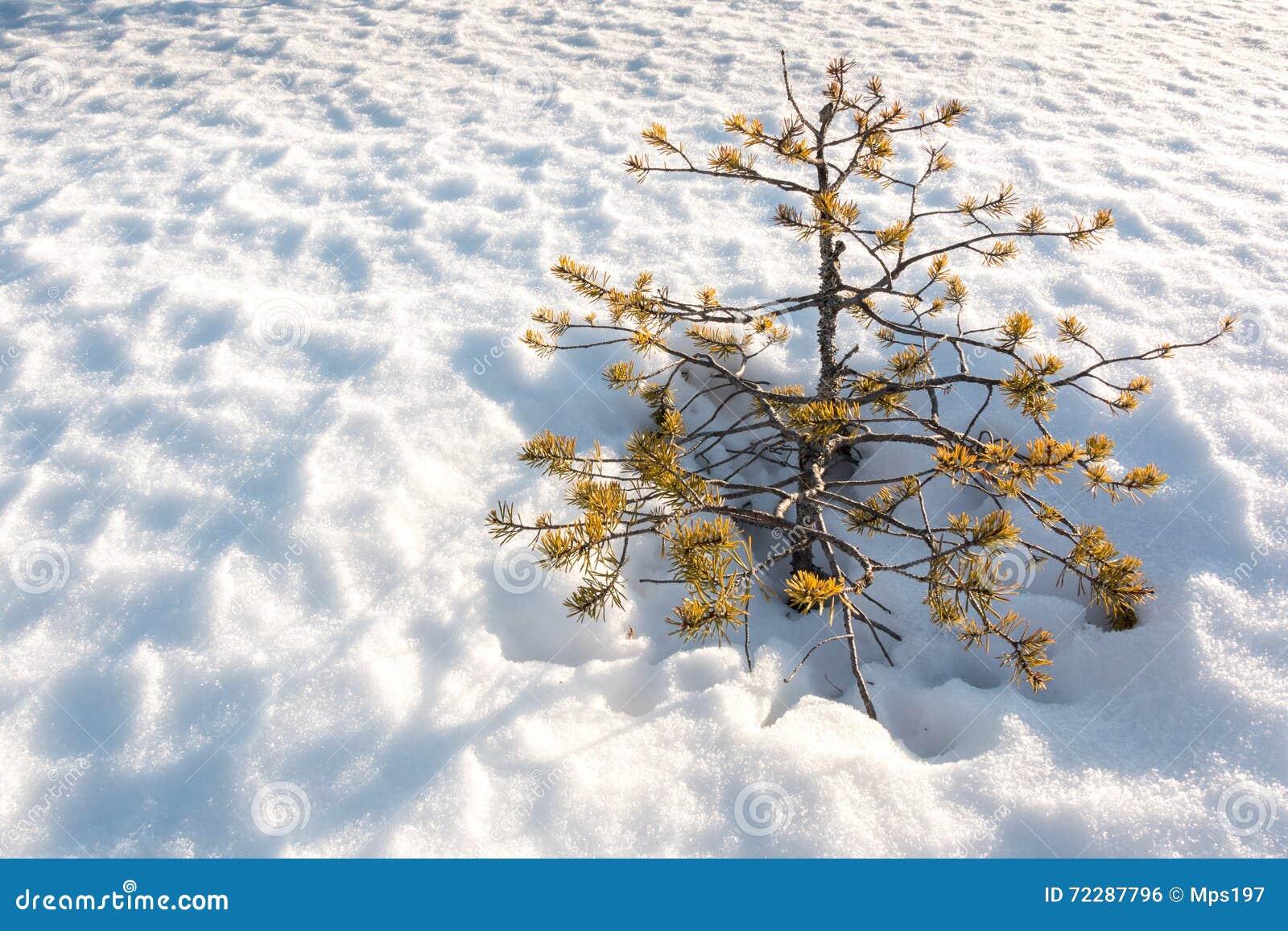 Download Малая останавливанная рост сосна растя на снеге Стоковое Фото - изображение насчитывающей bodiless, природа: 72287796