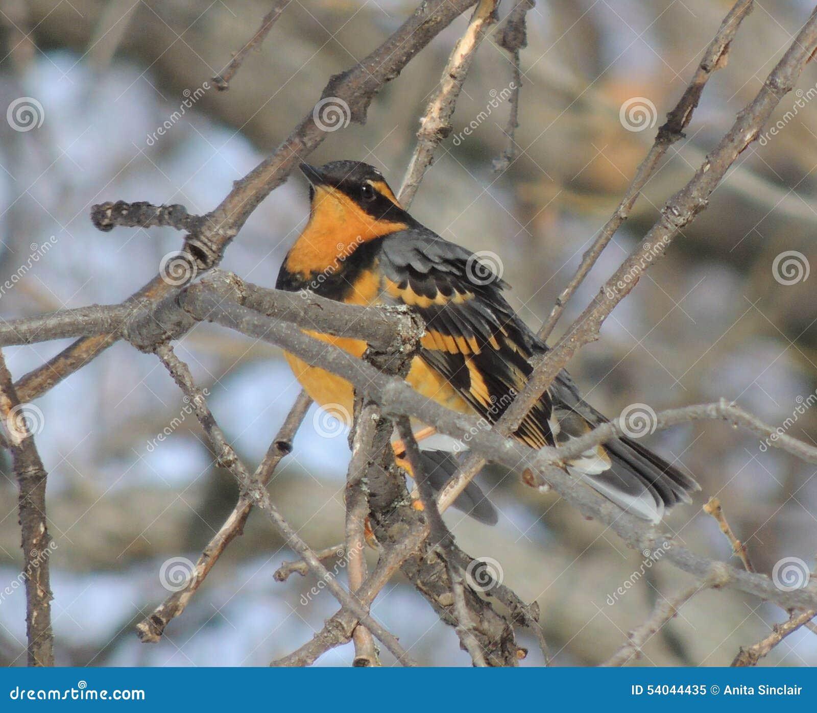 Малая птица, разнообразная молочница, окуни среди ветвей дуба