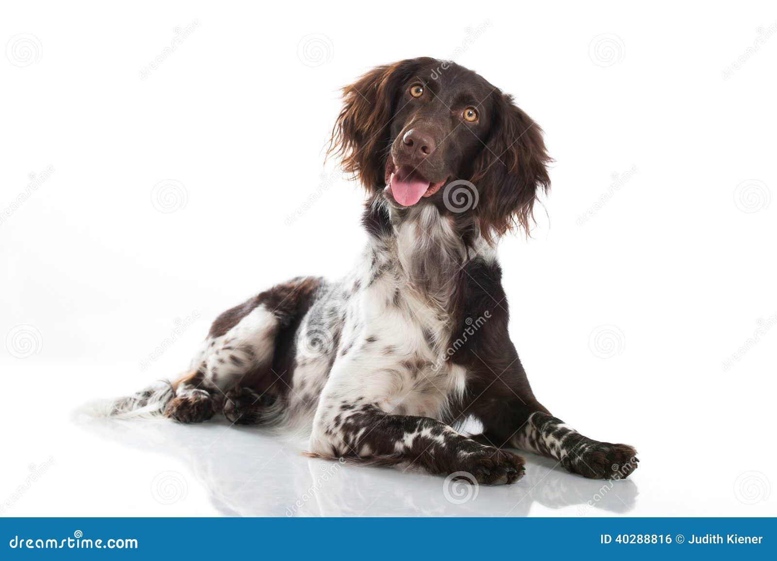 Малая собака munsterlander