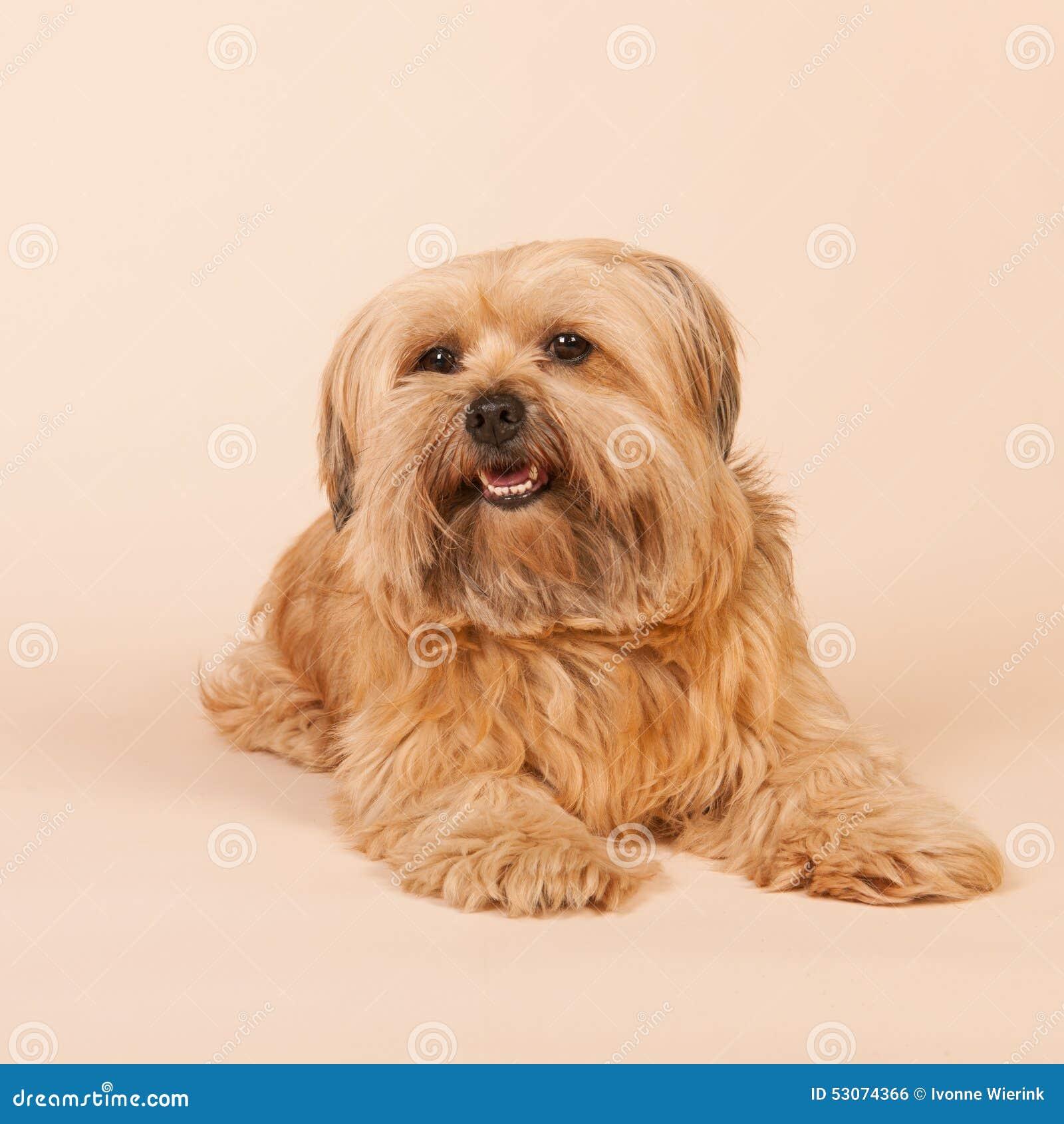 маленькая собака с длинными волосами