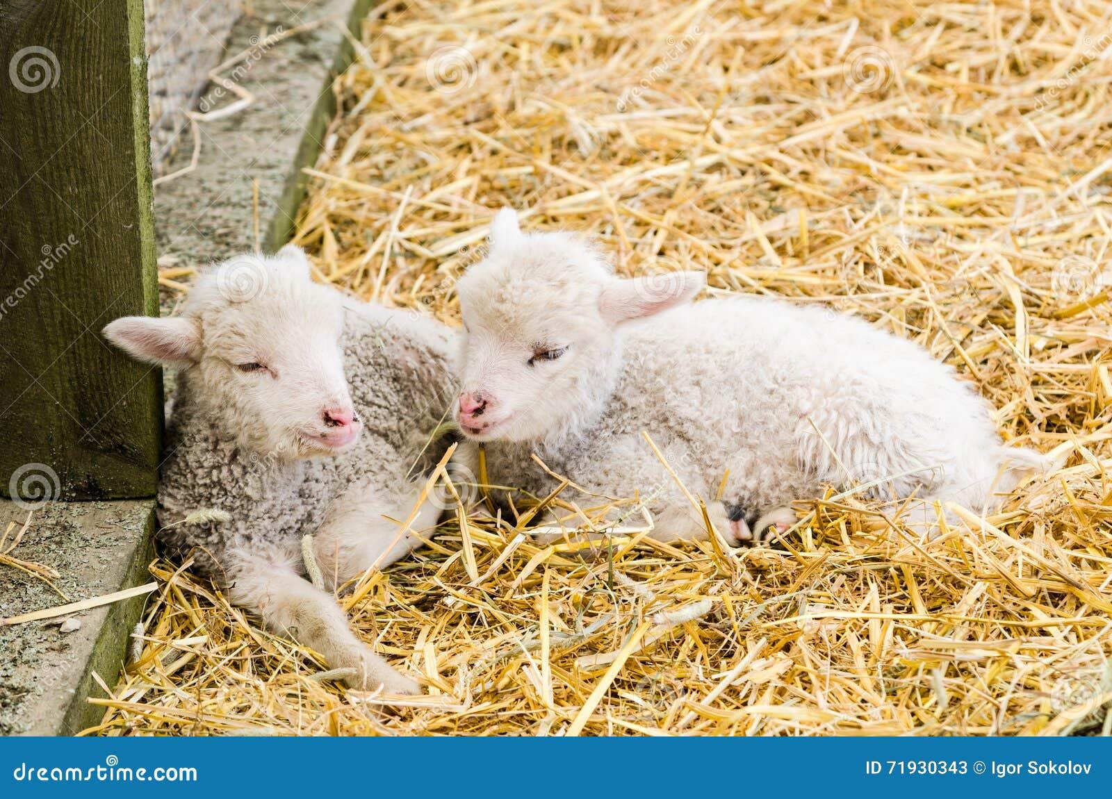 Маленькая овечка 2 спать в соломе