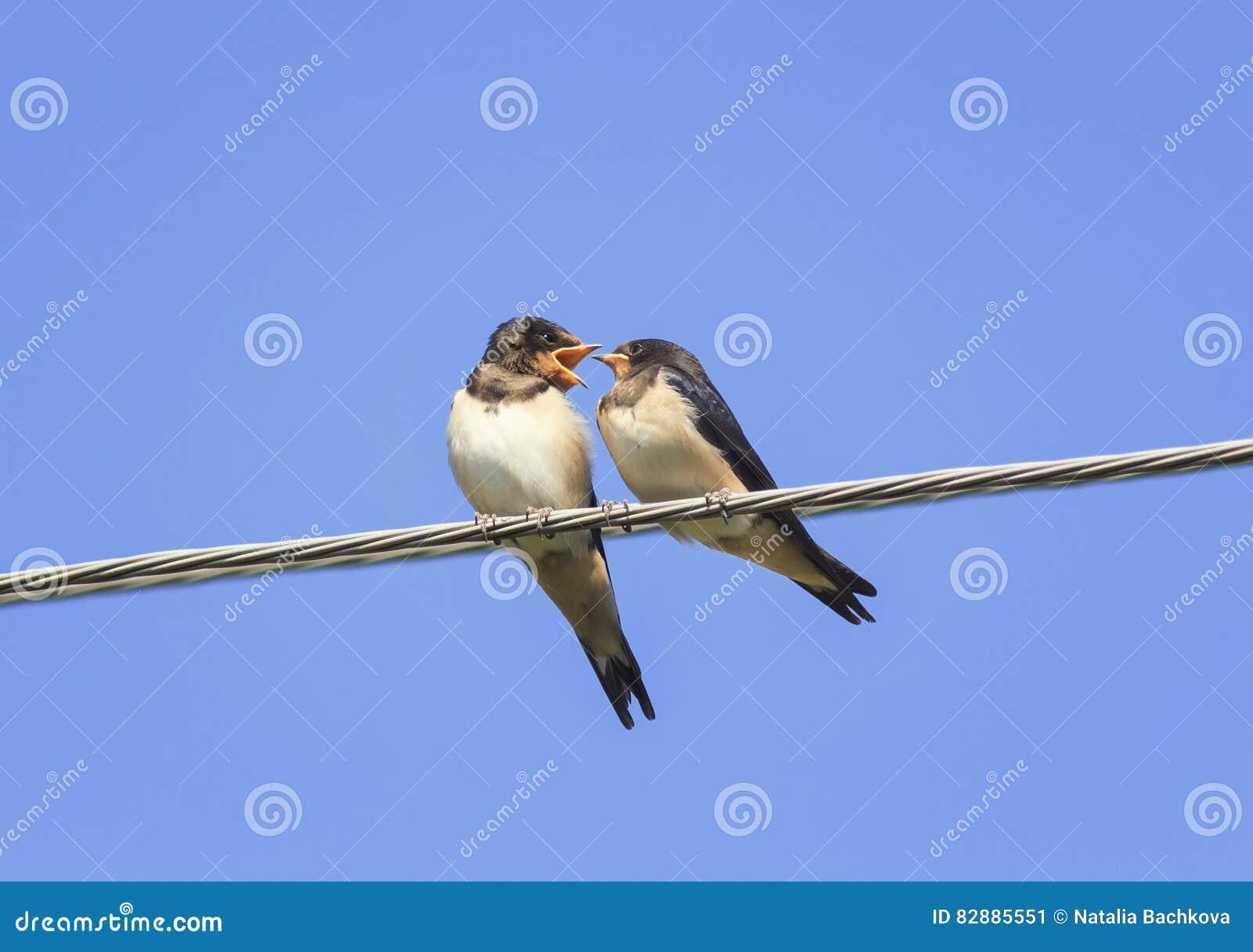 маленькие черные ласточки птиц сидя на проводах раскрывают клювы