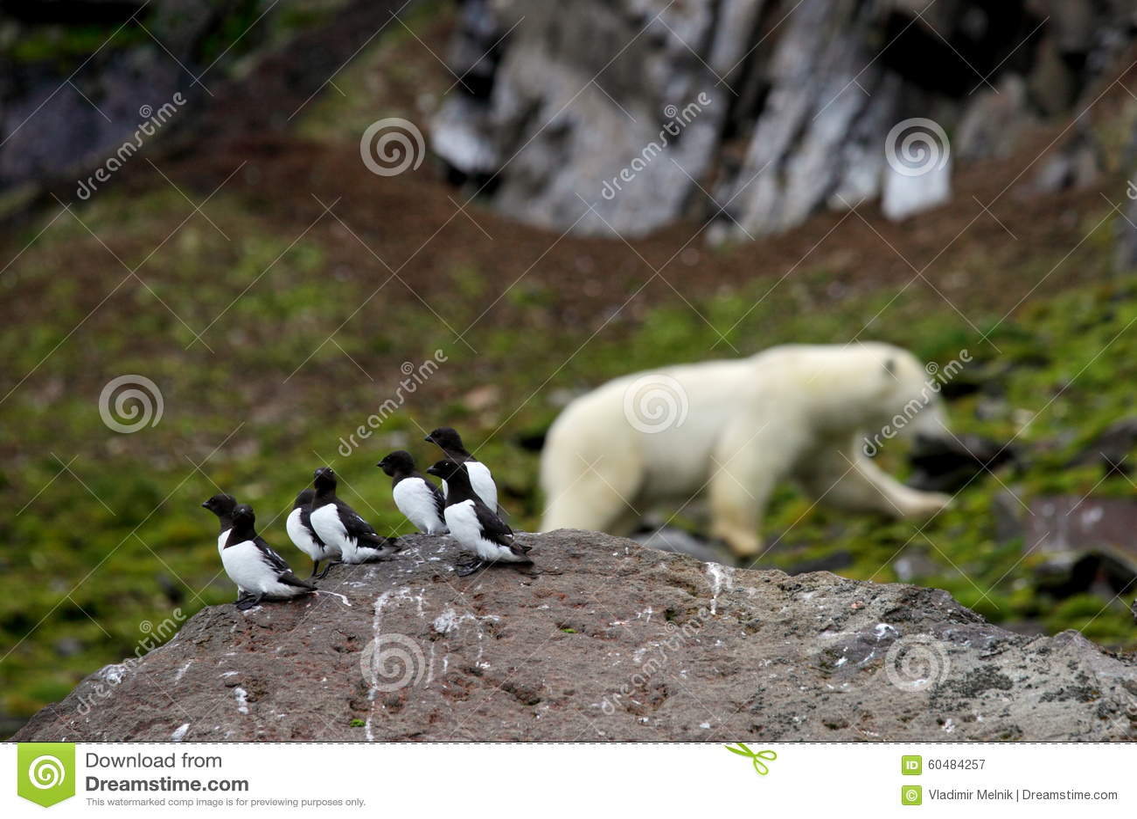 Маленькие чистиковые и полярный медведь