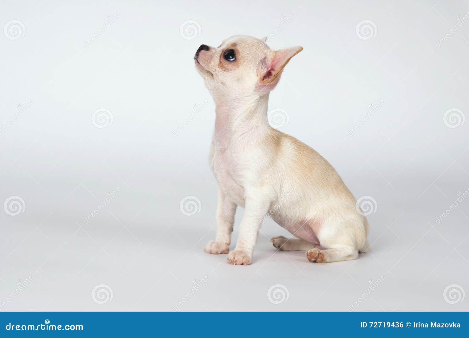Маленький белый чихуахуа щенка смотря к верхней части
