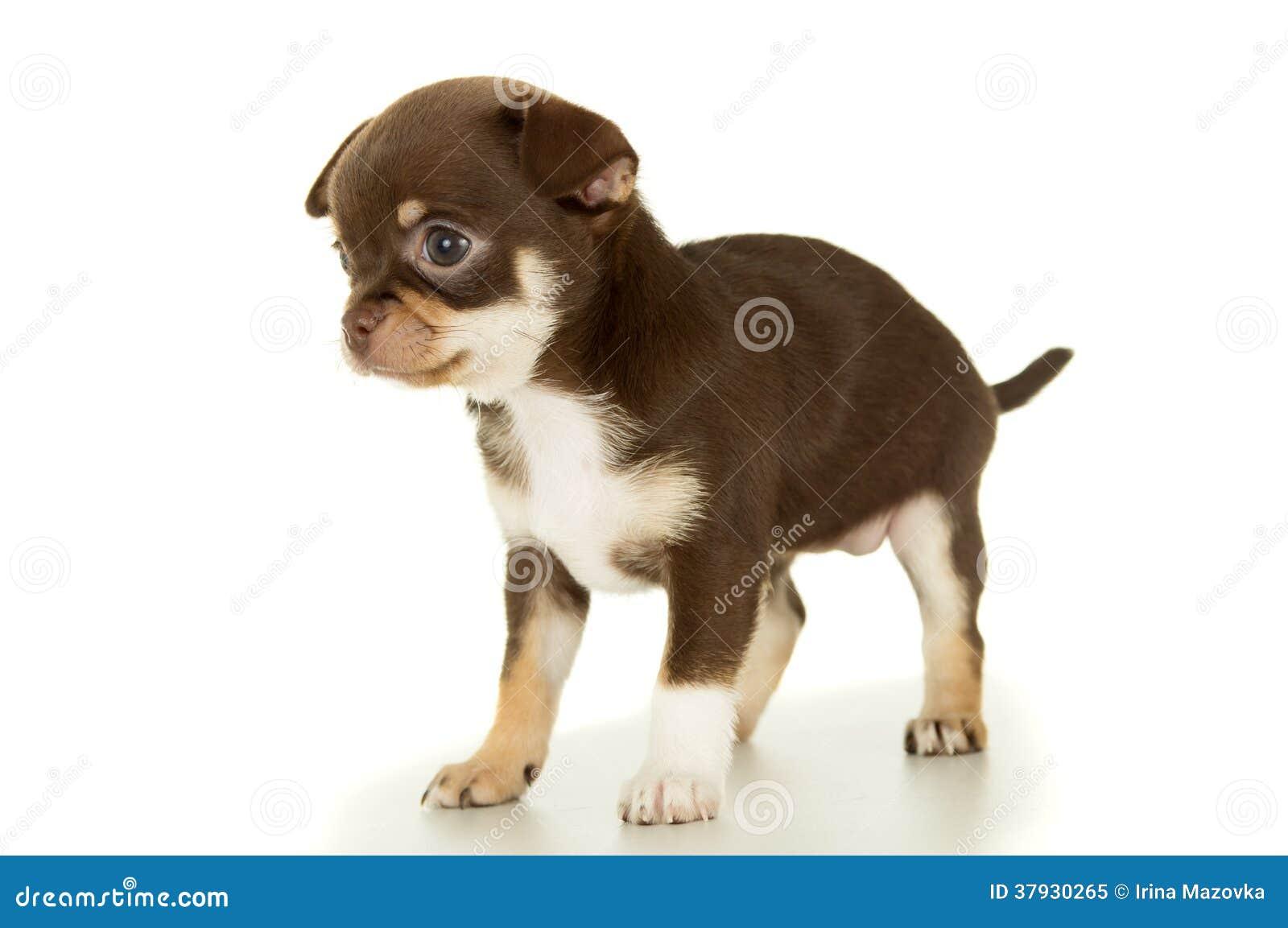 Маленький коричневый изолированный щенок чихуахуа