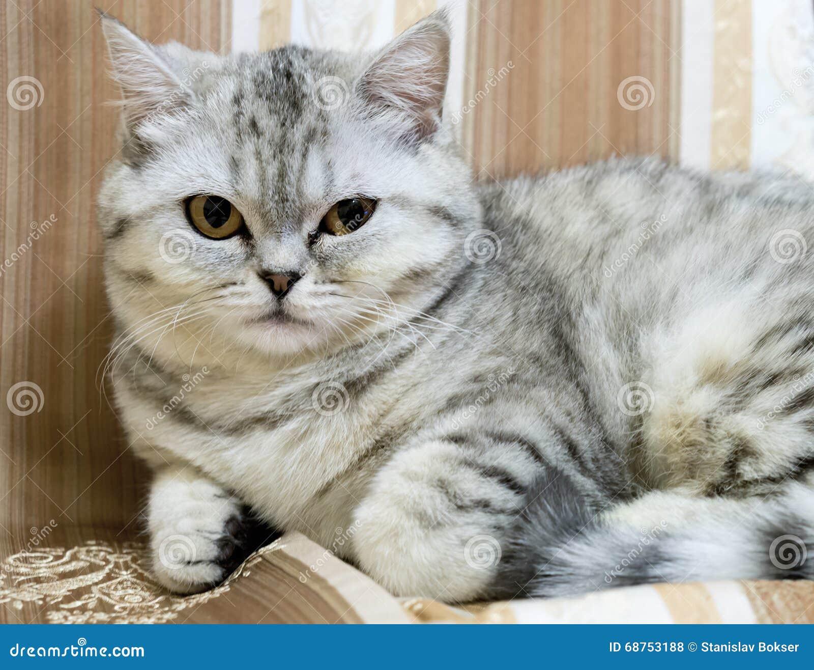 шотландский серый кот