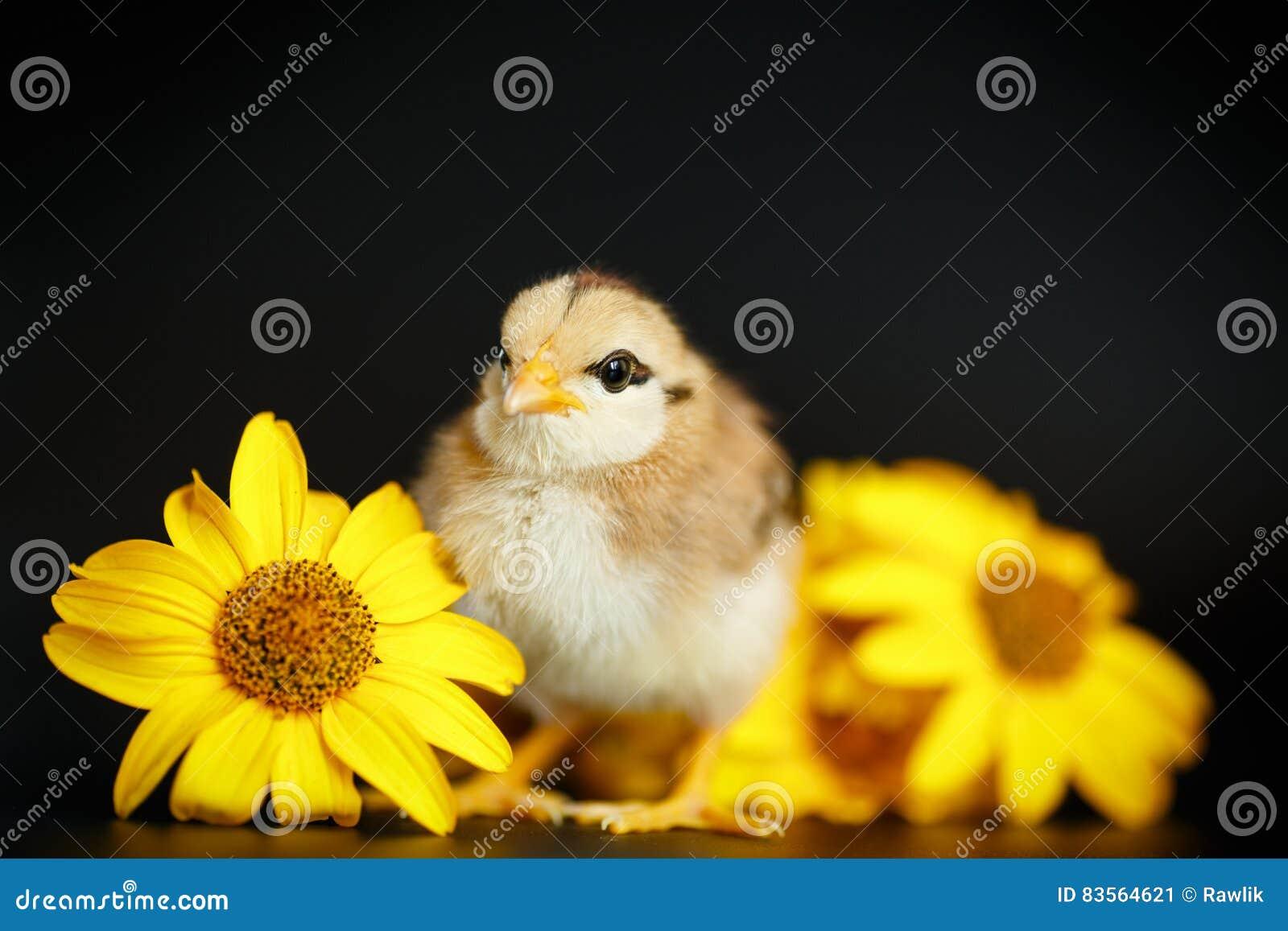Маленький цыпленок с маргаритками