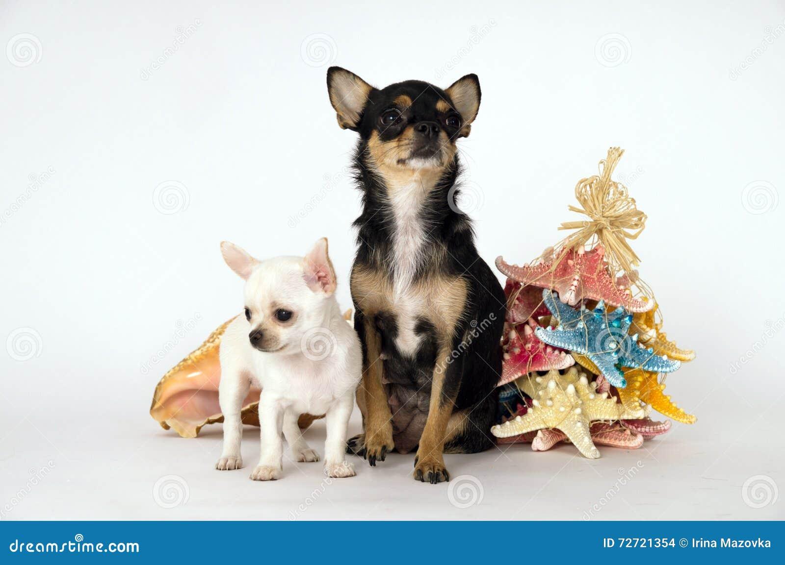 Маленький чихуахуа щенка при мама стоя около игрушки