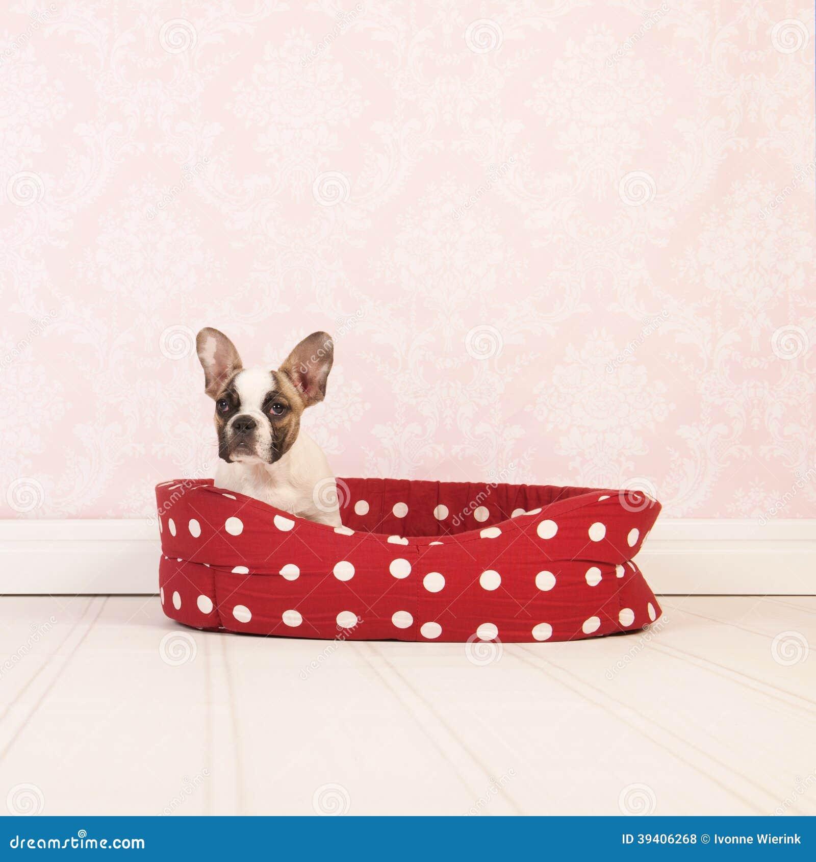 Маленький щенок французского бульдога