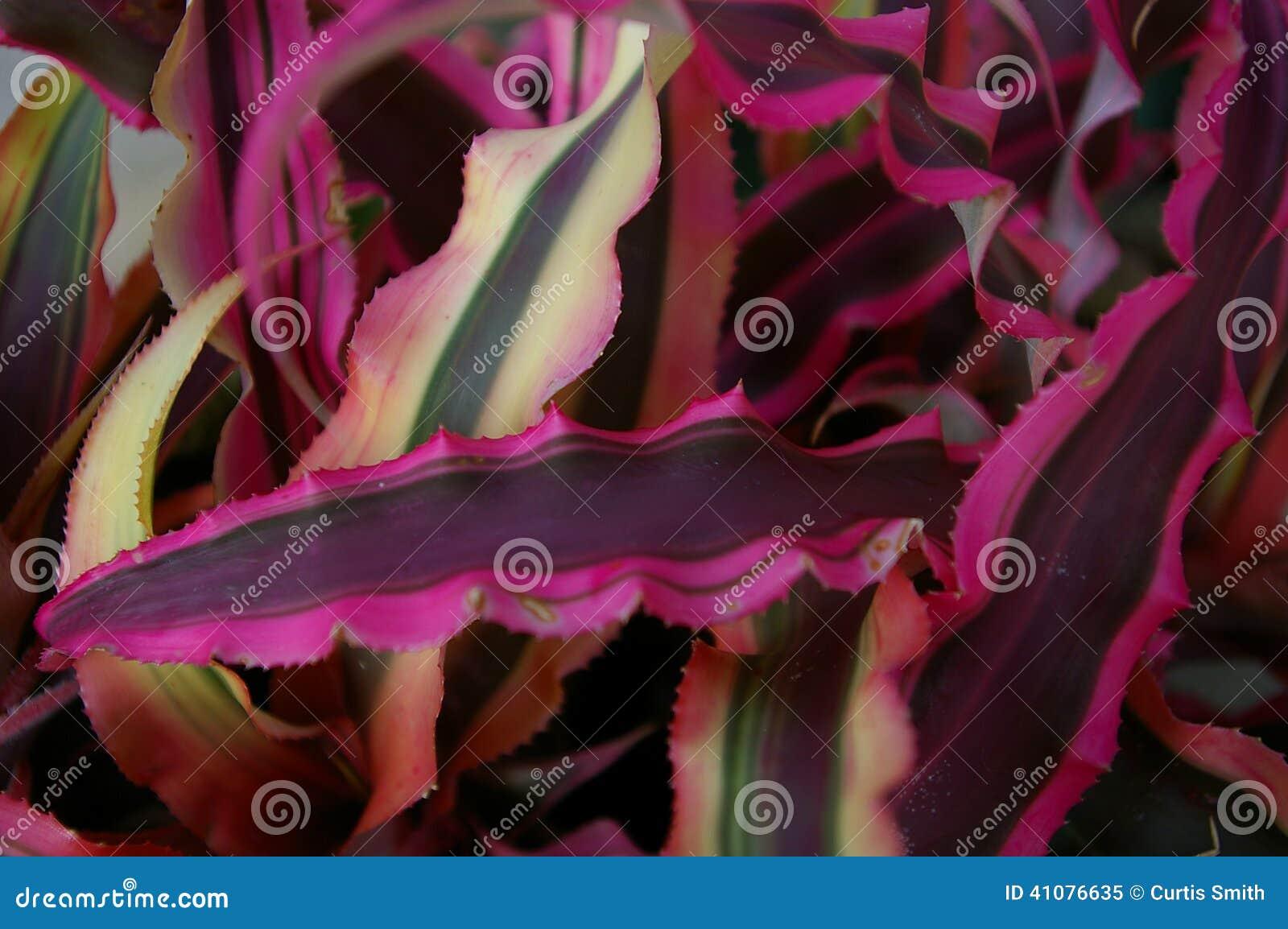 Маджента покрасила succulent на США ботаническом Гаре