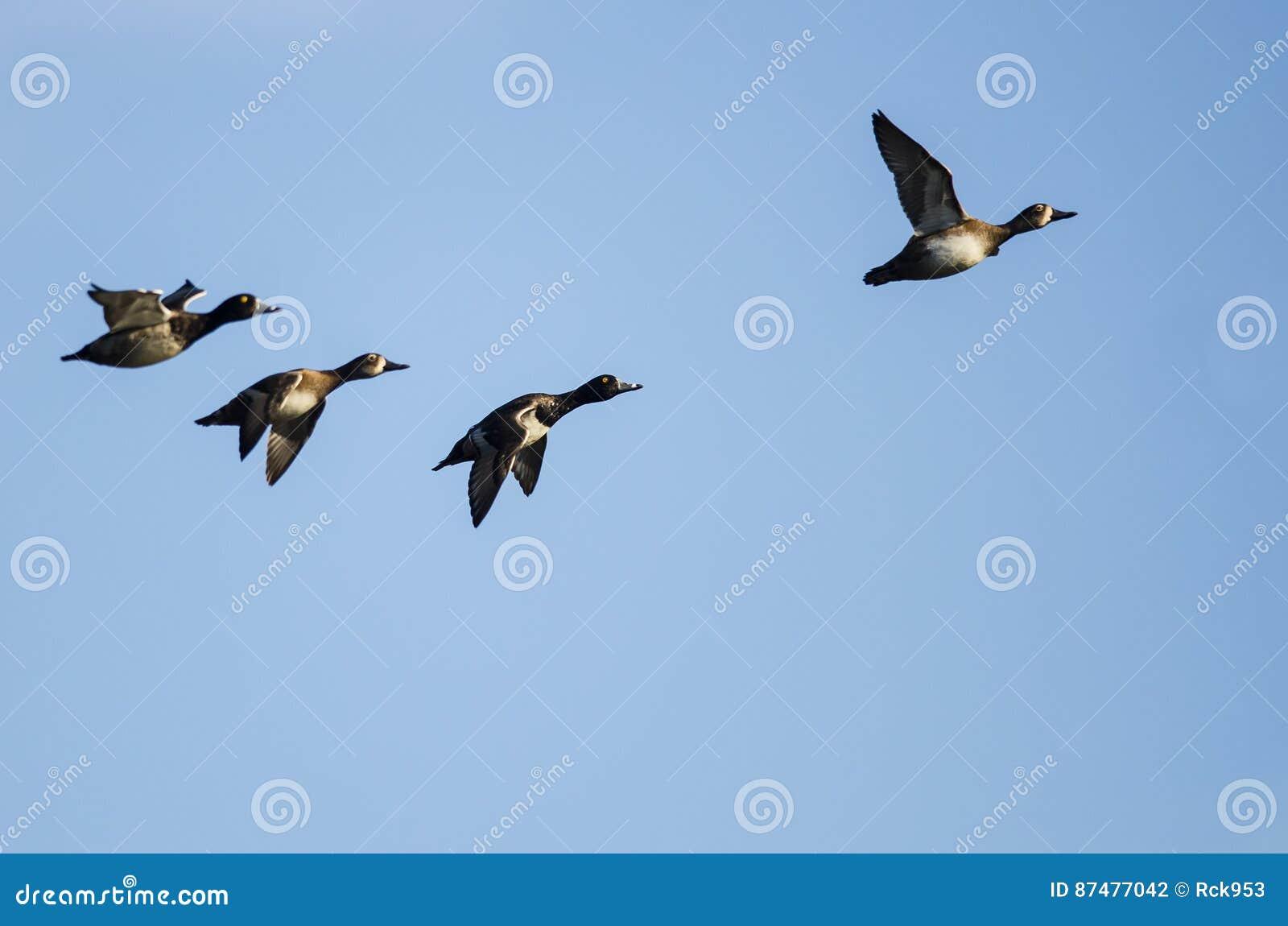 Малое стадо Кольц-Necked уток летая в голубое небо