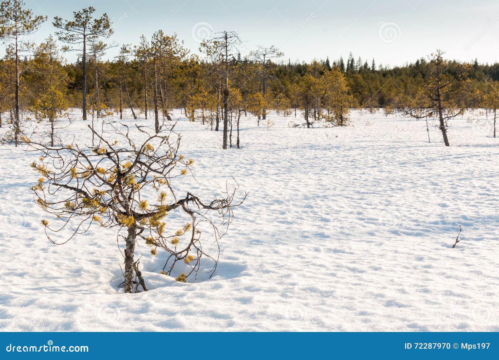 Download Малые останавливанные рост сосны растя на снеге покрыли нордическую трясину Стоковое Фото - изображение насчитывающей сосенка, wetland: 72287970