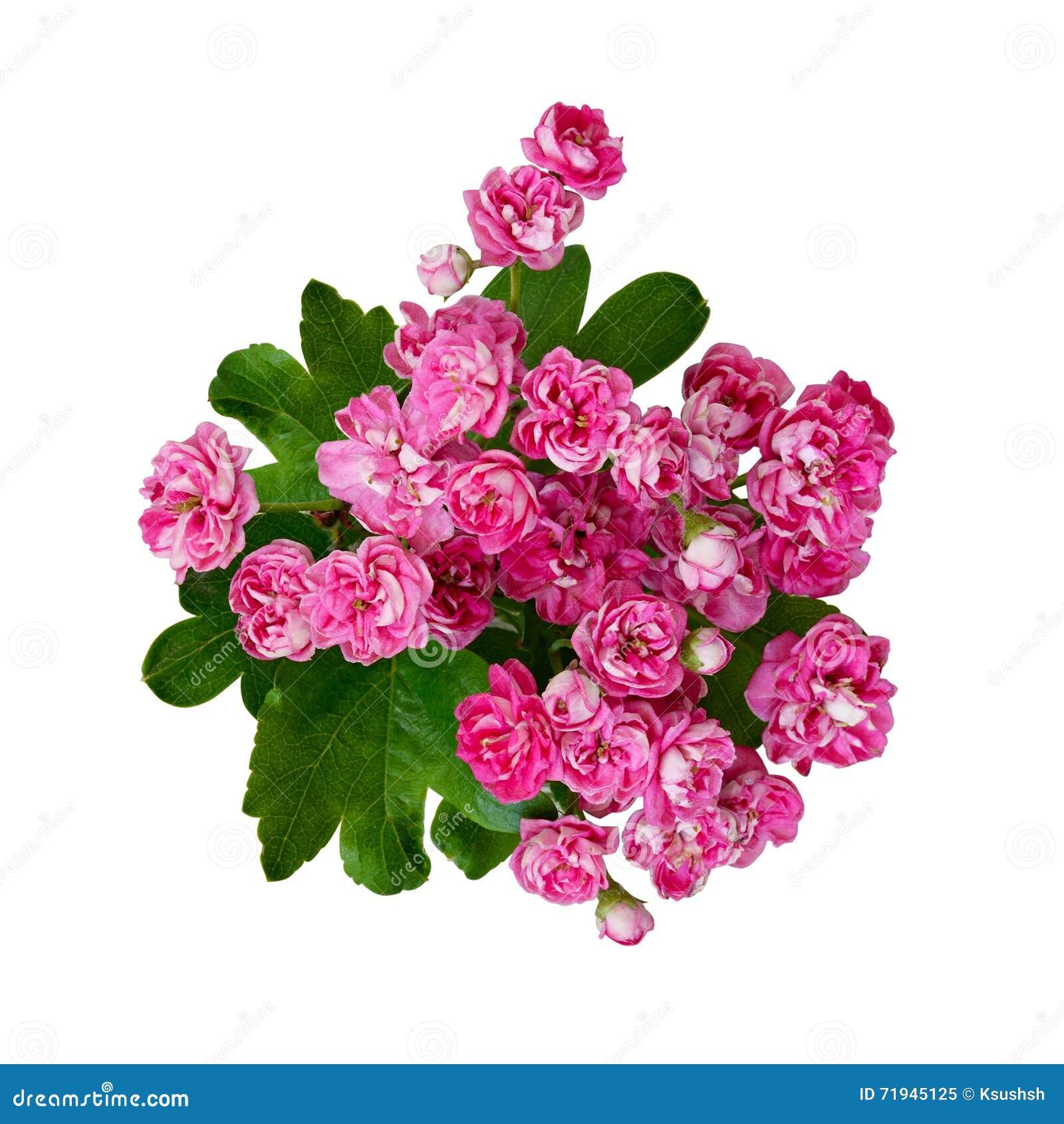 Малые розовые цветки боярышника