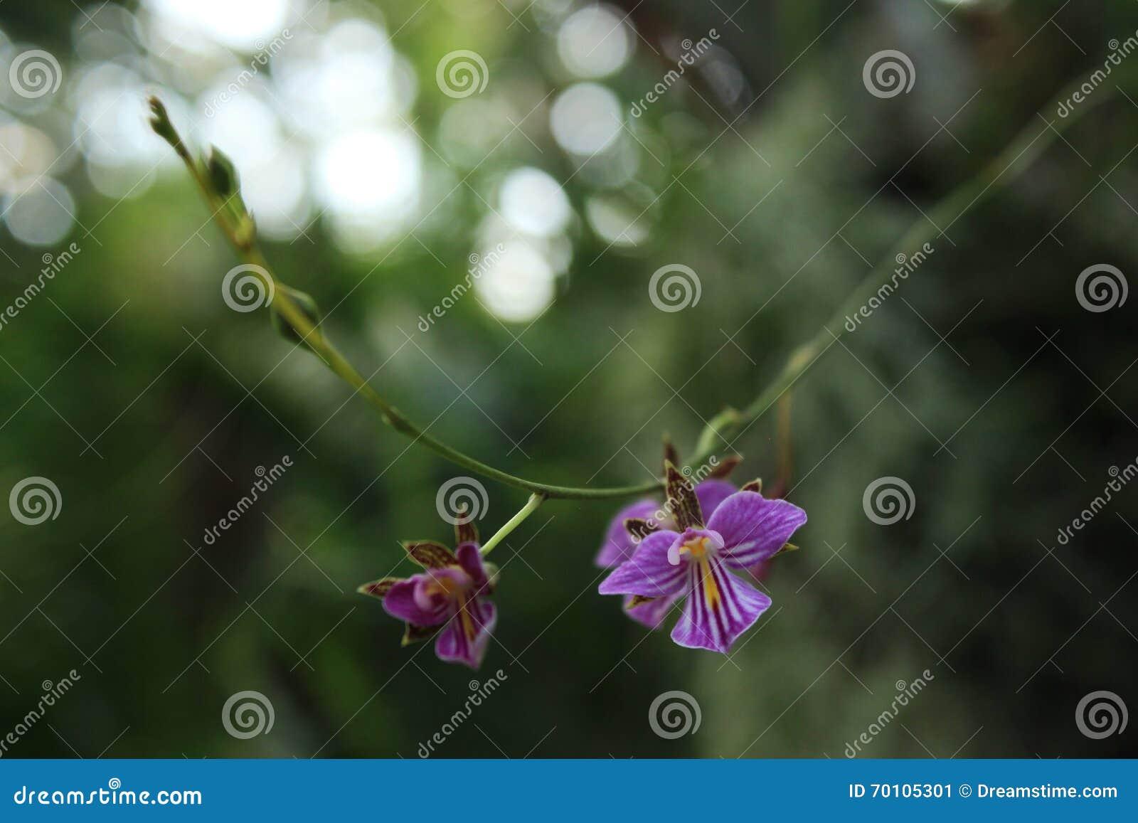 Малые фиолетовые Striped орхидеи