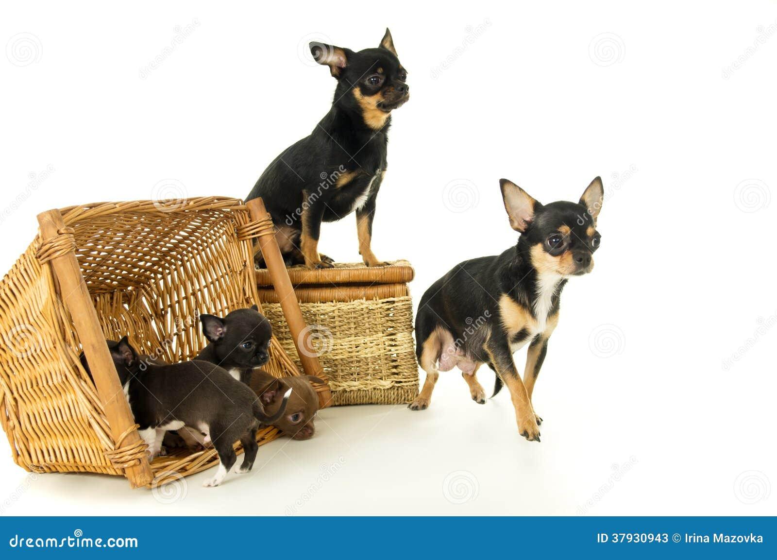 Малые щенята, мать и отец чихуахуа