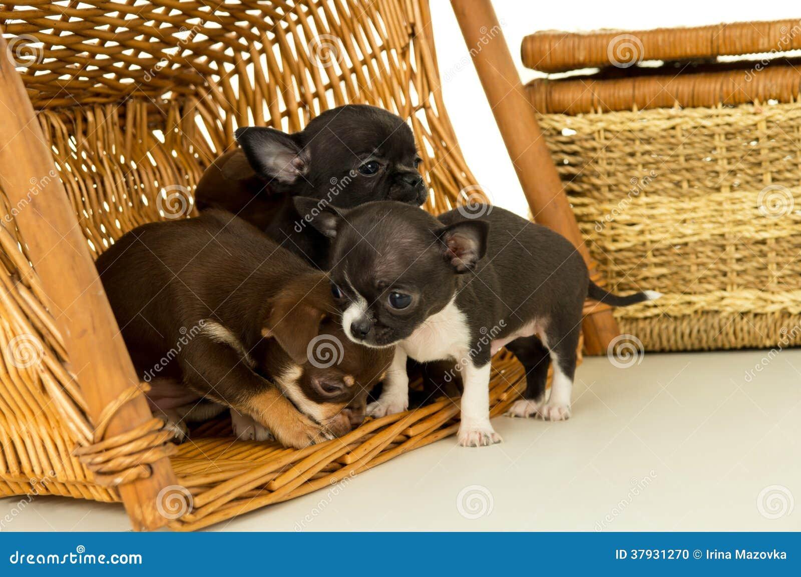 Малые щенята чихуахуа играя в корзине