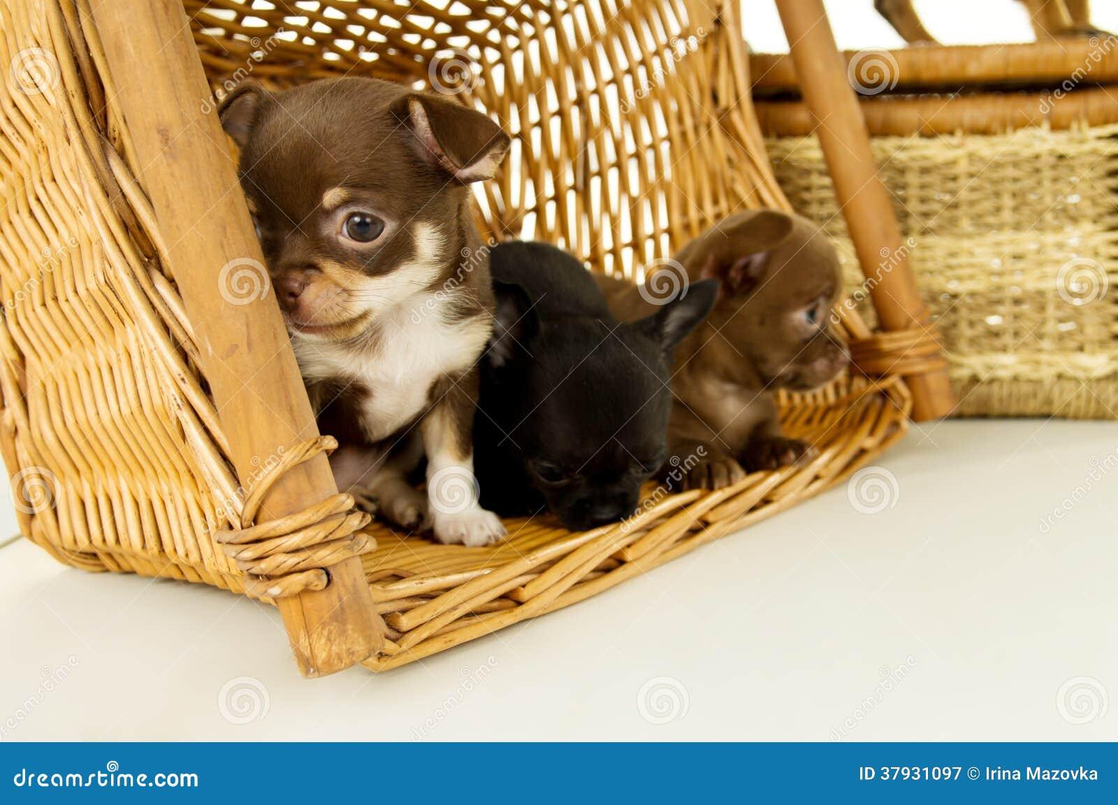 Малые щенята чихуахуа для корзин предпосылки