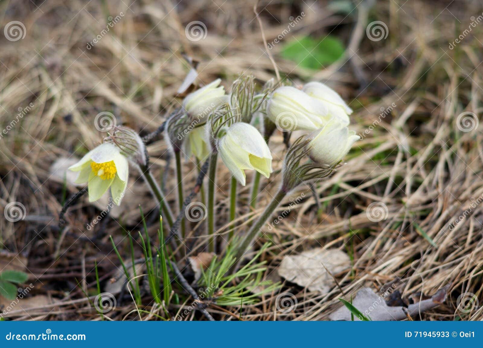 Малый желтый цвет цветет snowdrop
