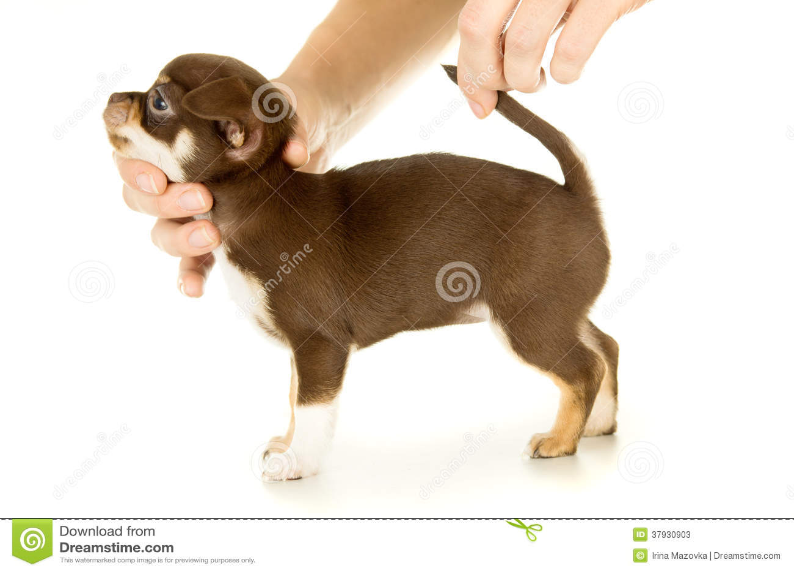 Малый коричневый чихуахуа щенка