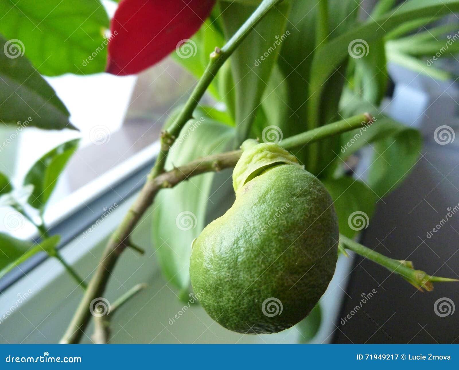 Малый неполовозрелый лимон как домашний завод