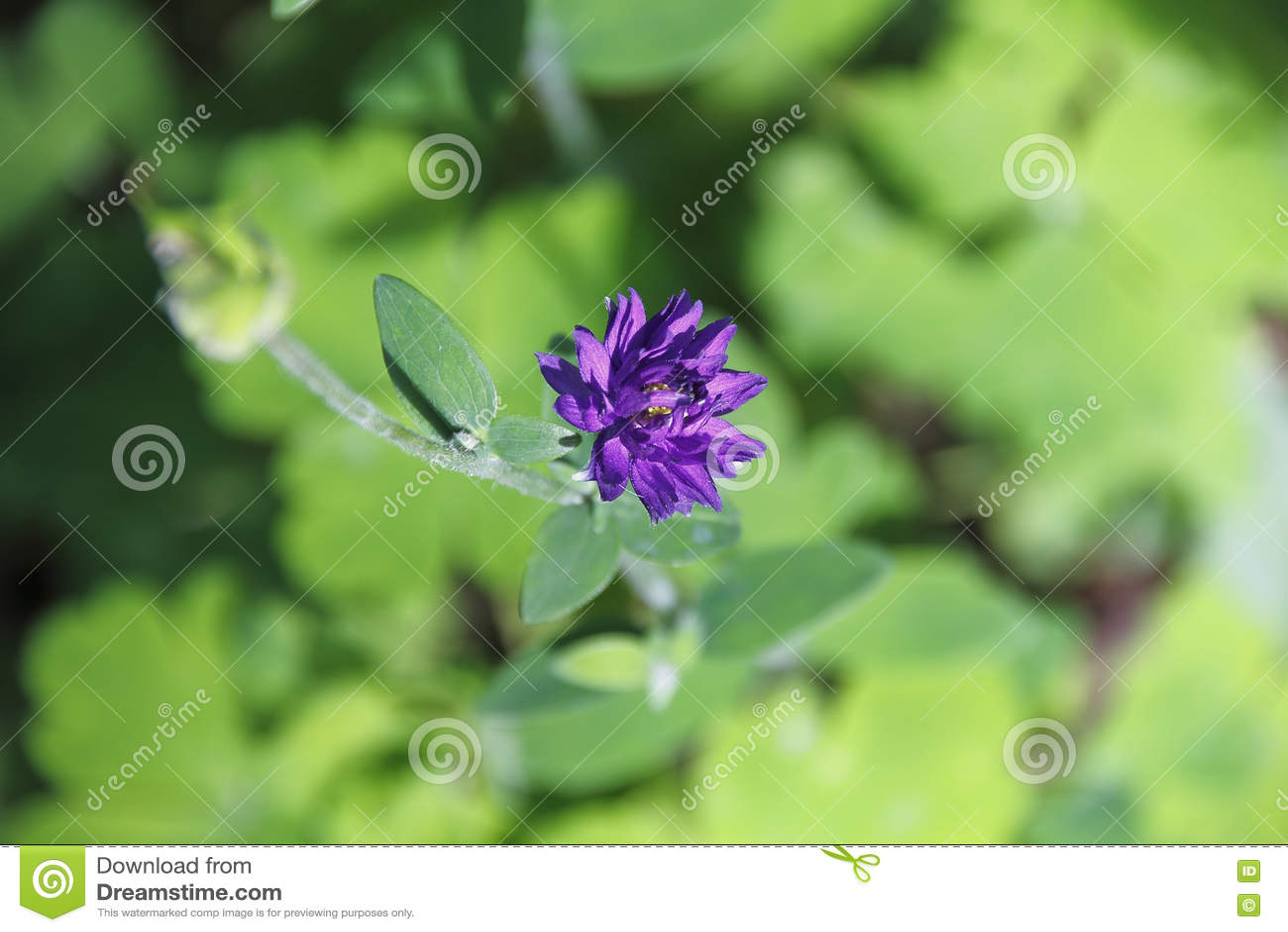 Download Малый, фиолетовый полевой цветок Стоковое Фото - изображение насчитывающей деталь, angiosperms: 72277690